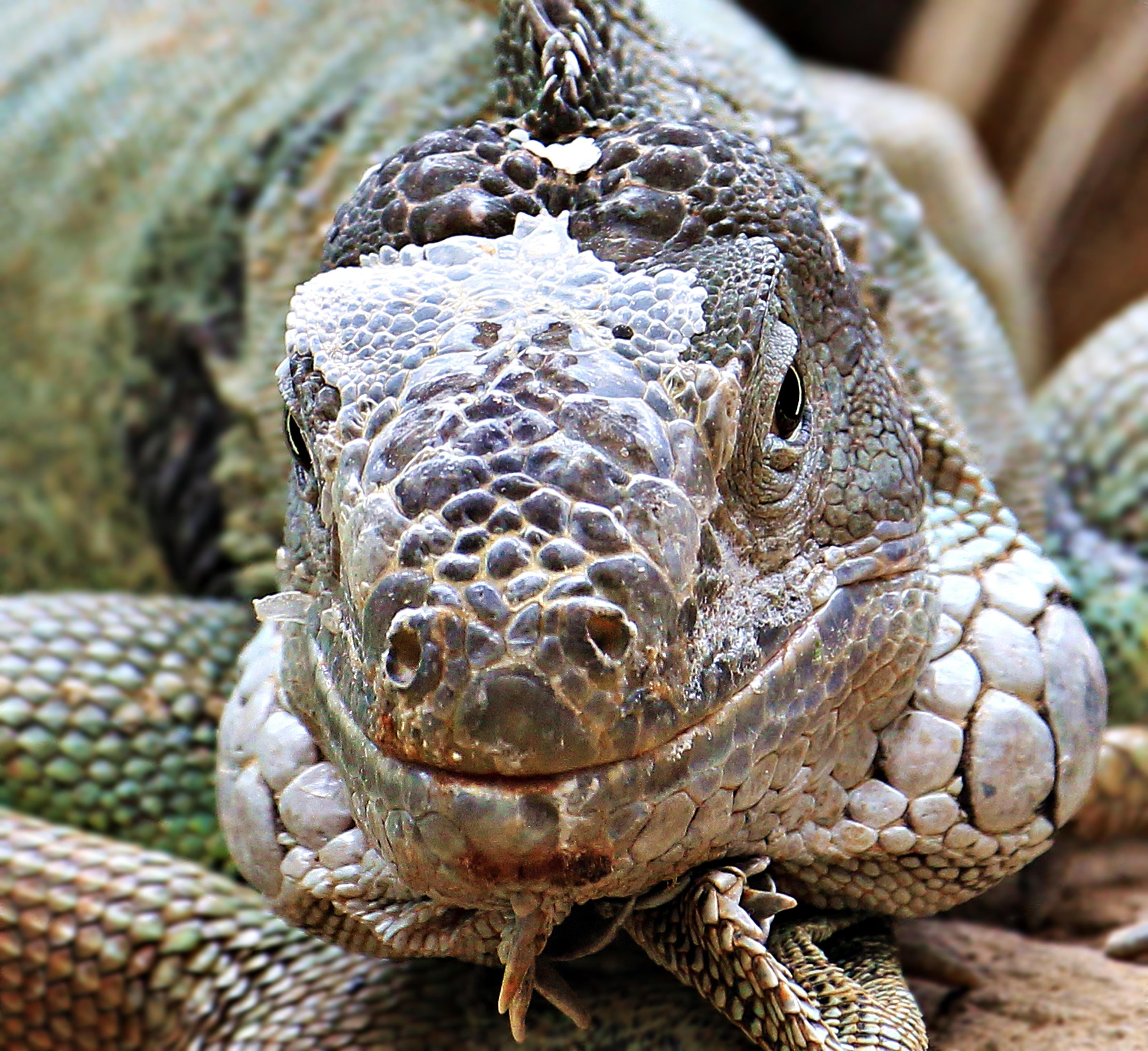 Kostenlose foto : Tier, Zoo, tropisch, Rahmen, Leguan, Fauna ...