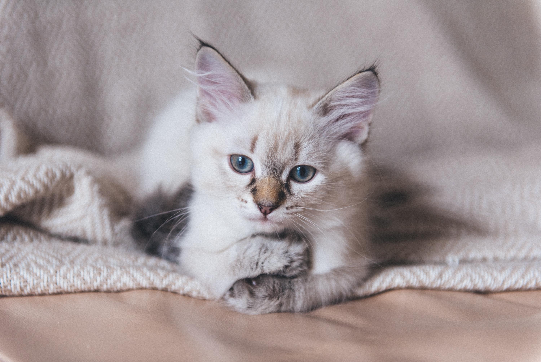 Котенок умывается языком. Кот вылизывает лапу. Морда кота крупно ... | 2003x3000
