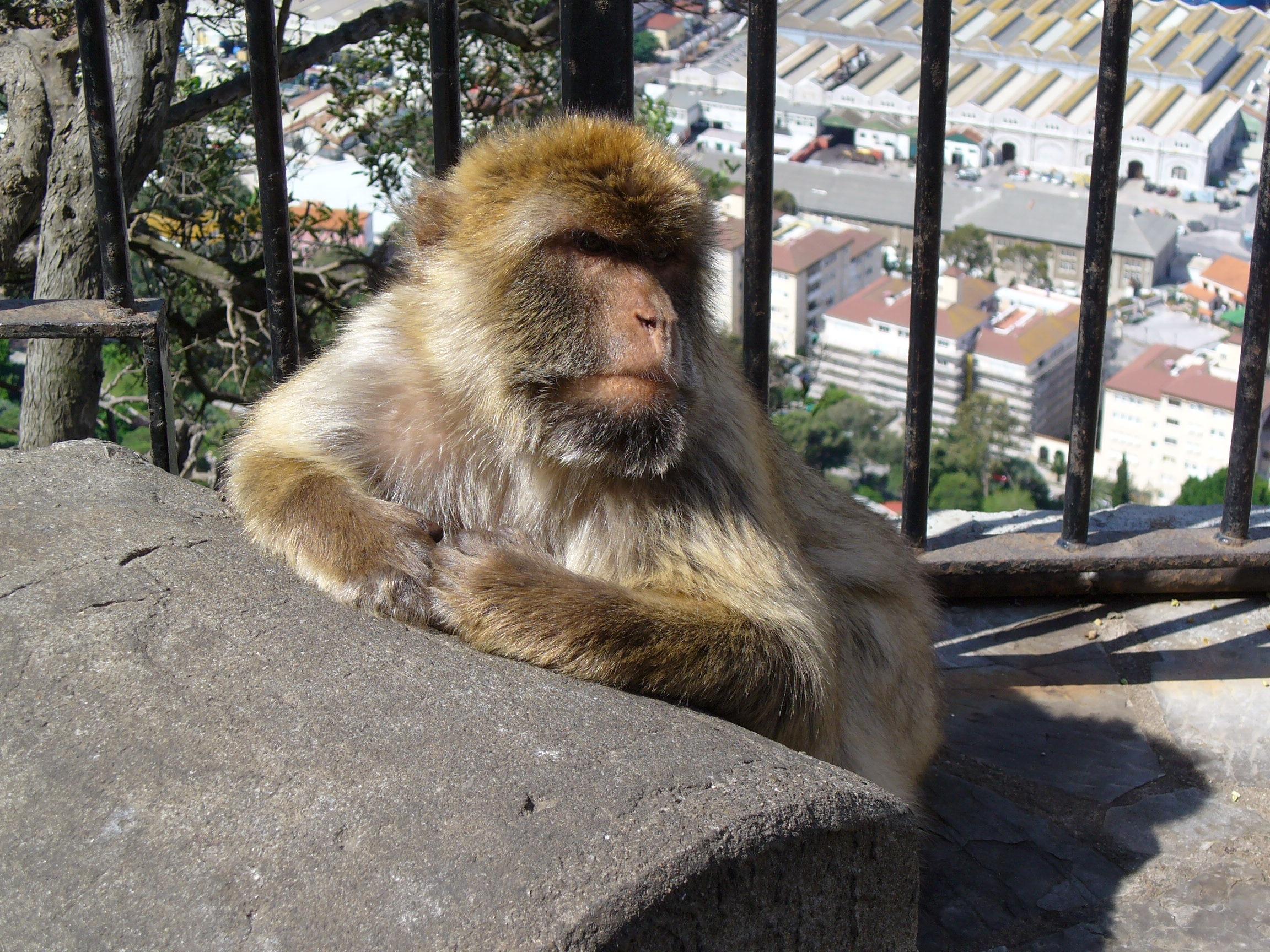 Free Images : animal, zoo, mammal, fauna, primate, gibraltar, spain