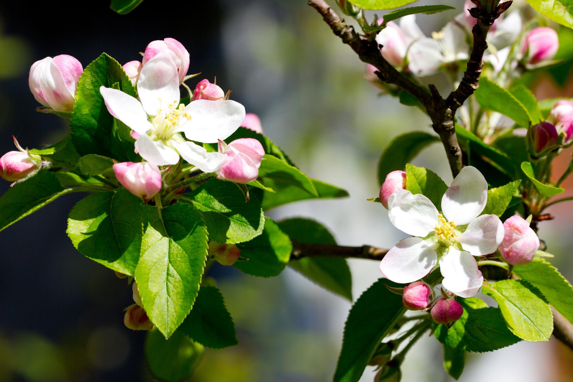 Картинки, яблоневый цвет картинки