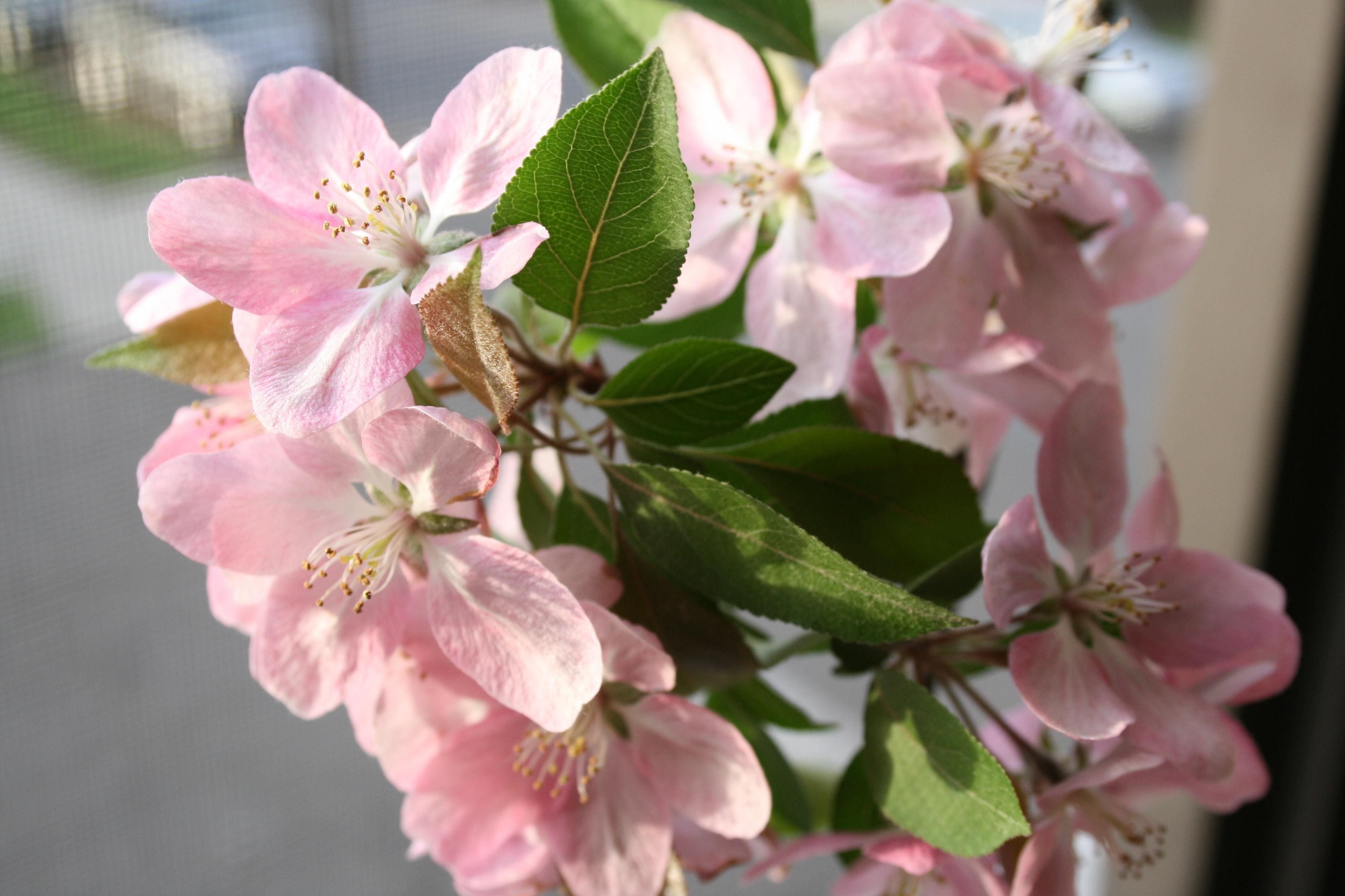 Картинка с яблоневым цветом, валентинки гифки открытки