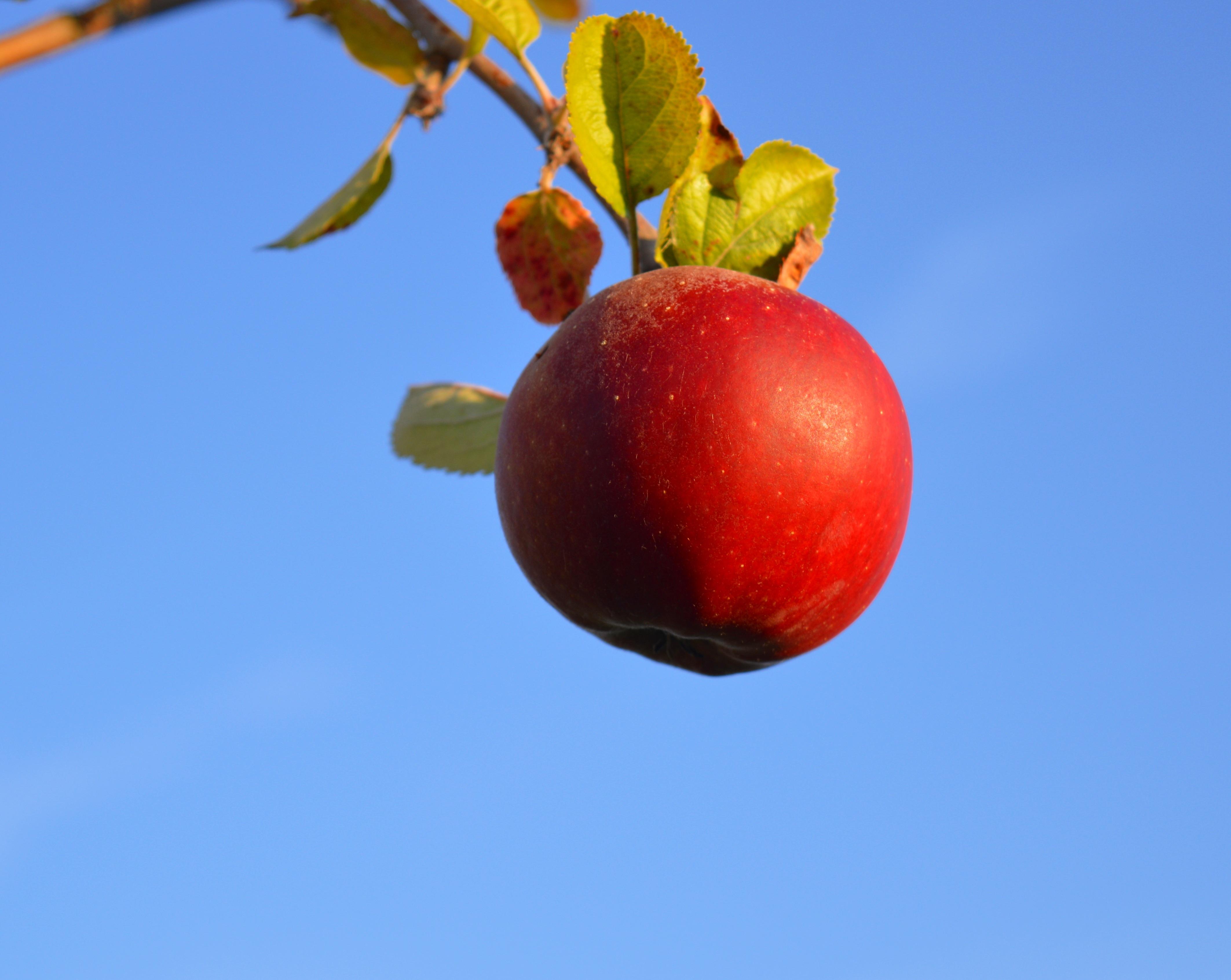 hình ảnh : chi nhánh, thực vật, trái cây, quả mọng, Chín muồi, món ăn, Đỏ, Sản xuất, khỏe mạnh, thơm ngon, Nước ép, táo đỏ, vitamin, Frisch, Hồng hông, ...