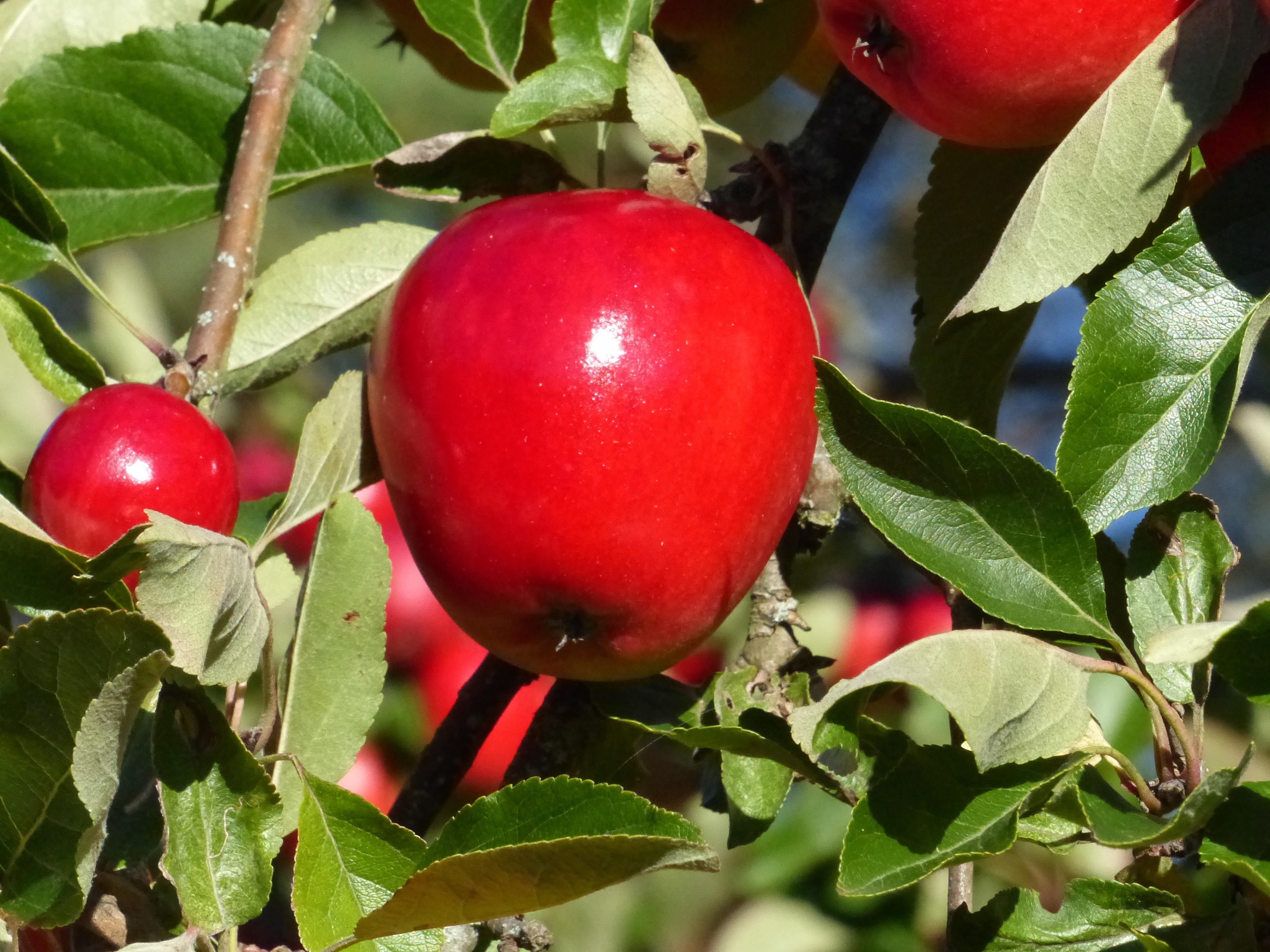 Fotos gratis manzana rama fruta hoja flor comida for Arboles frutales de hoja caduca