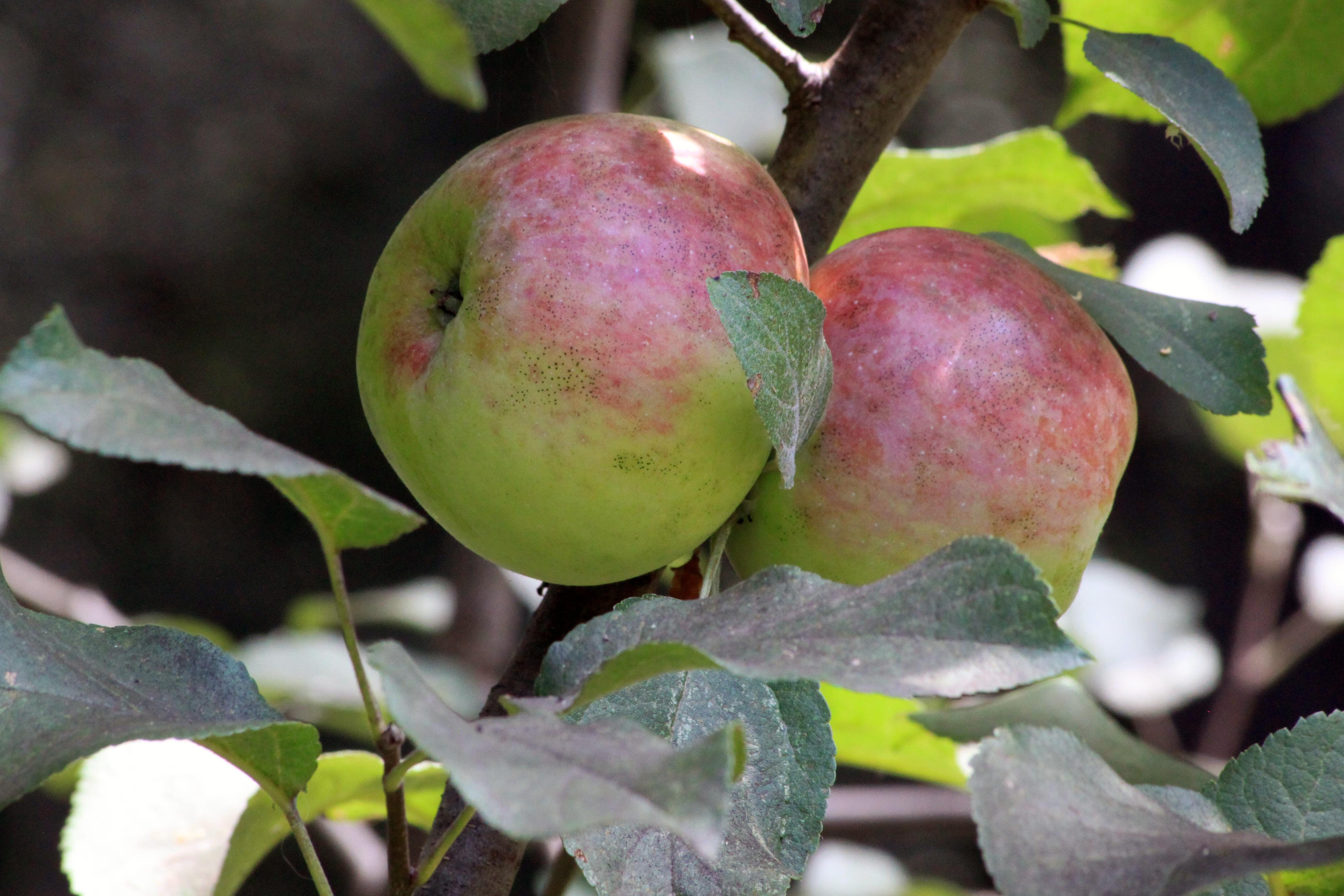images gratuites : pomme, branche, ensoleillement, fruit, feuille