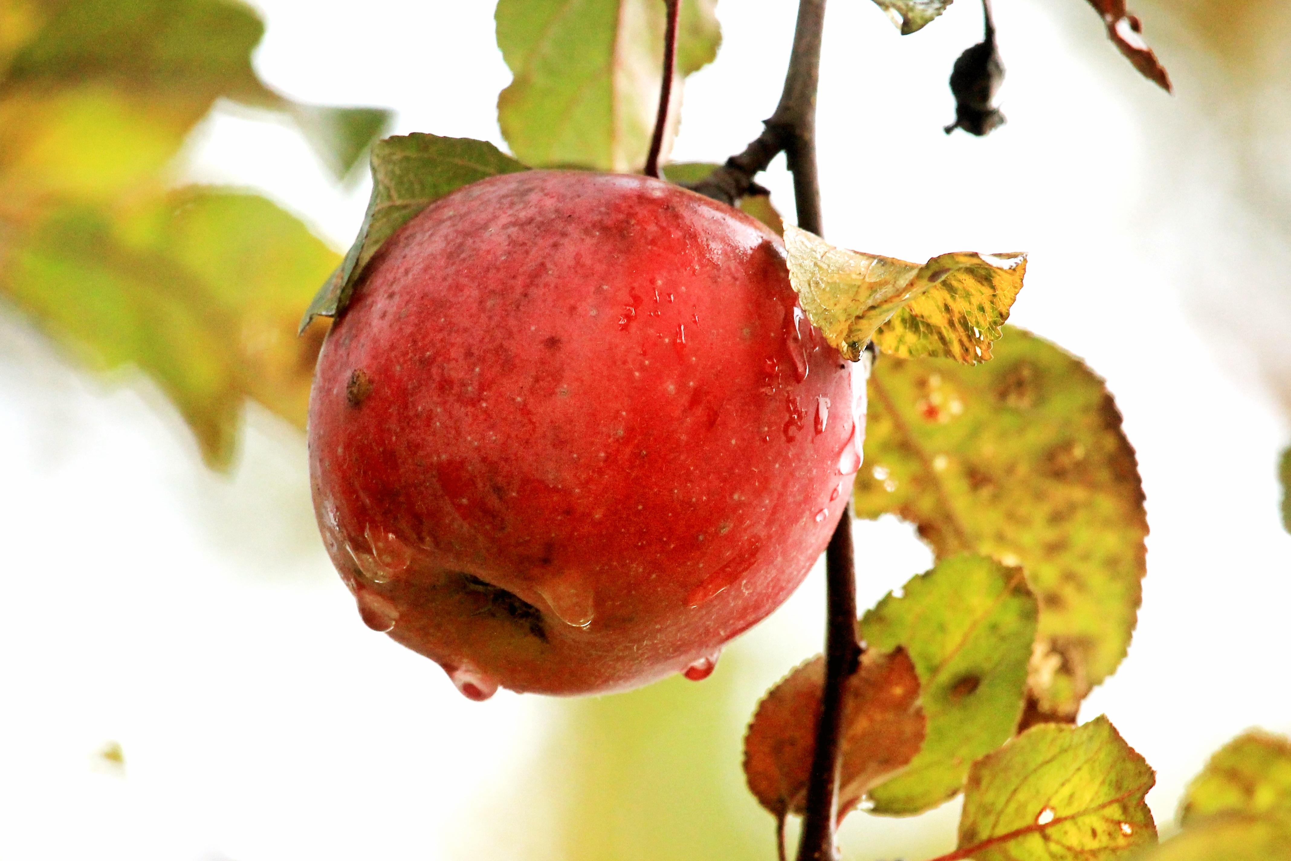 фото яблоки с каплями дождя предлагает шаблоны