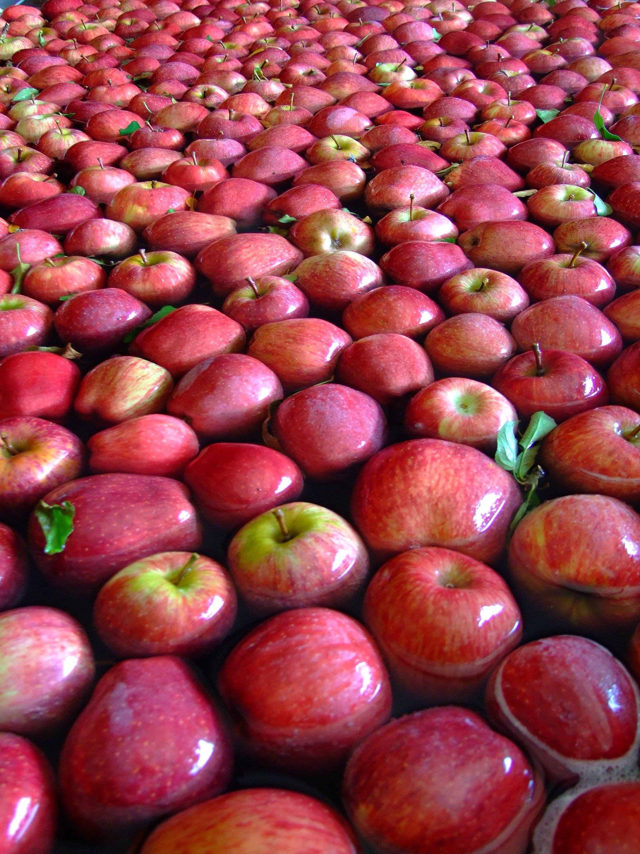 Яблок много картинки