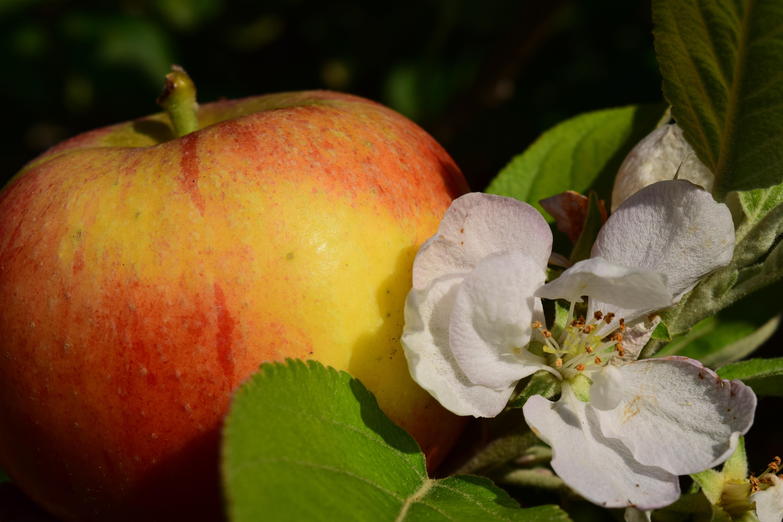 заготовленный картинки яблоки в цвету и с плодами емкости химически стойки