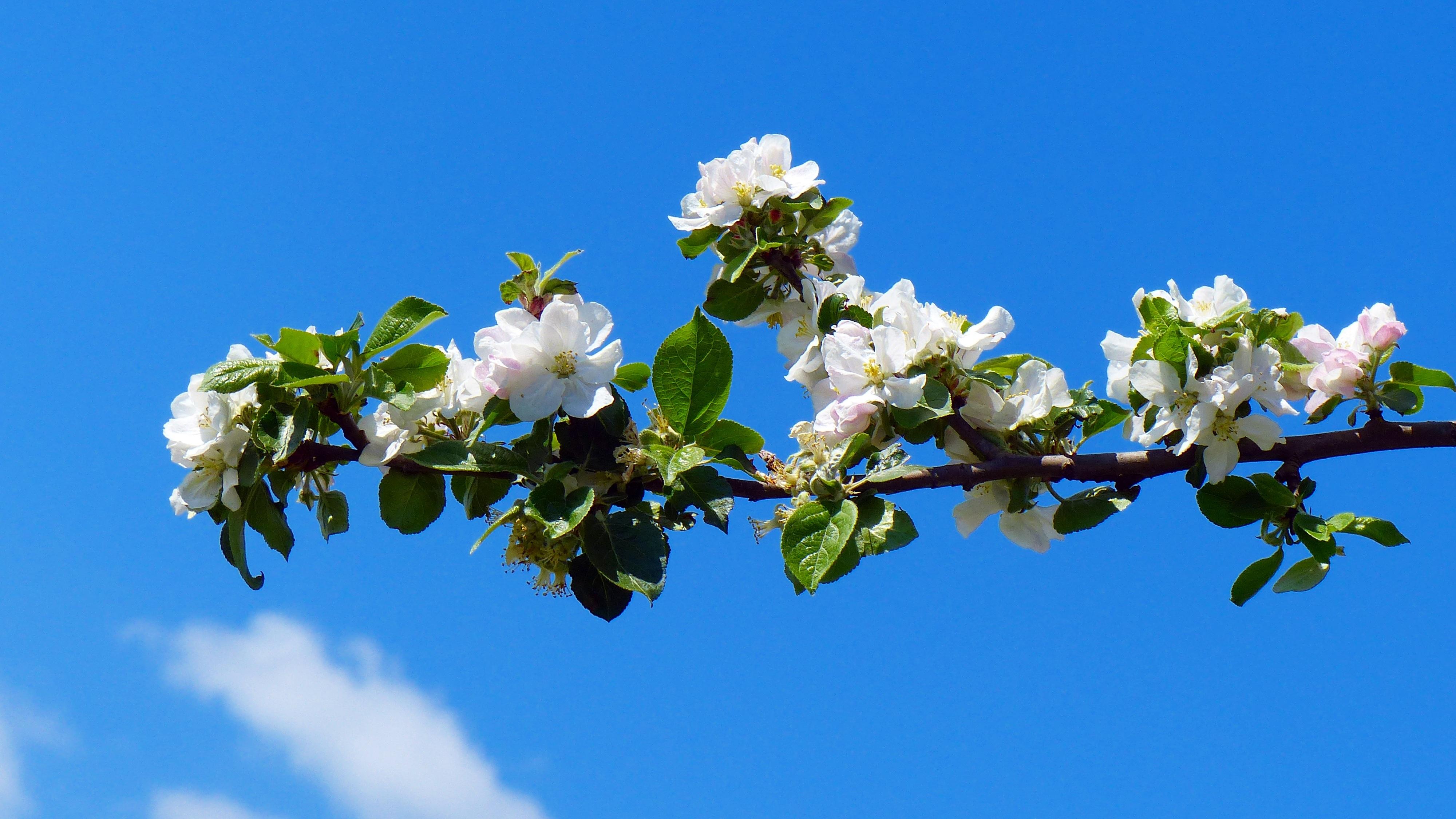 фото цветущей яблони на рабочий стол сказала, что