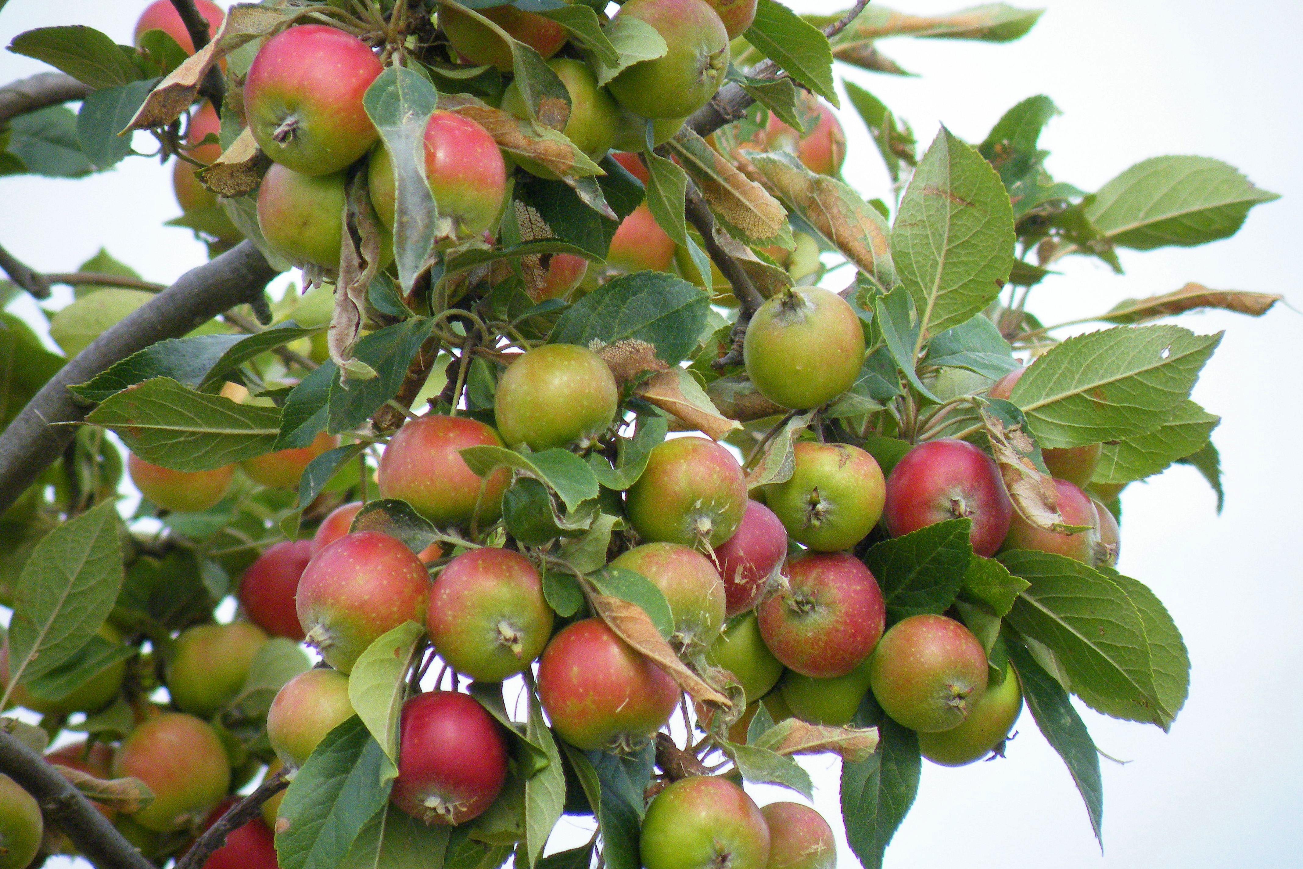 Images Gratuites Pomme Arbre Branche Fruit Fleur Aliments