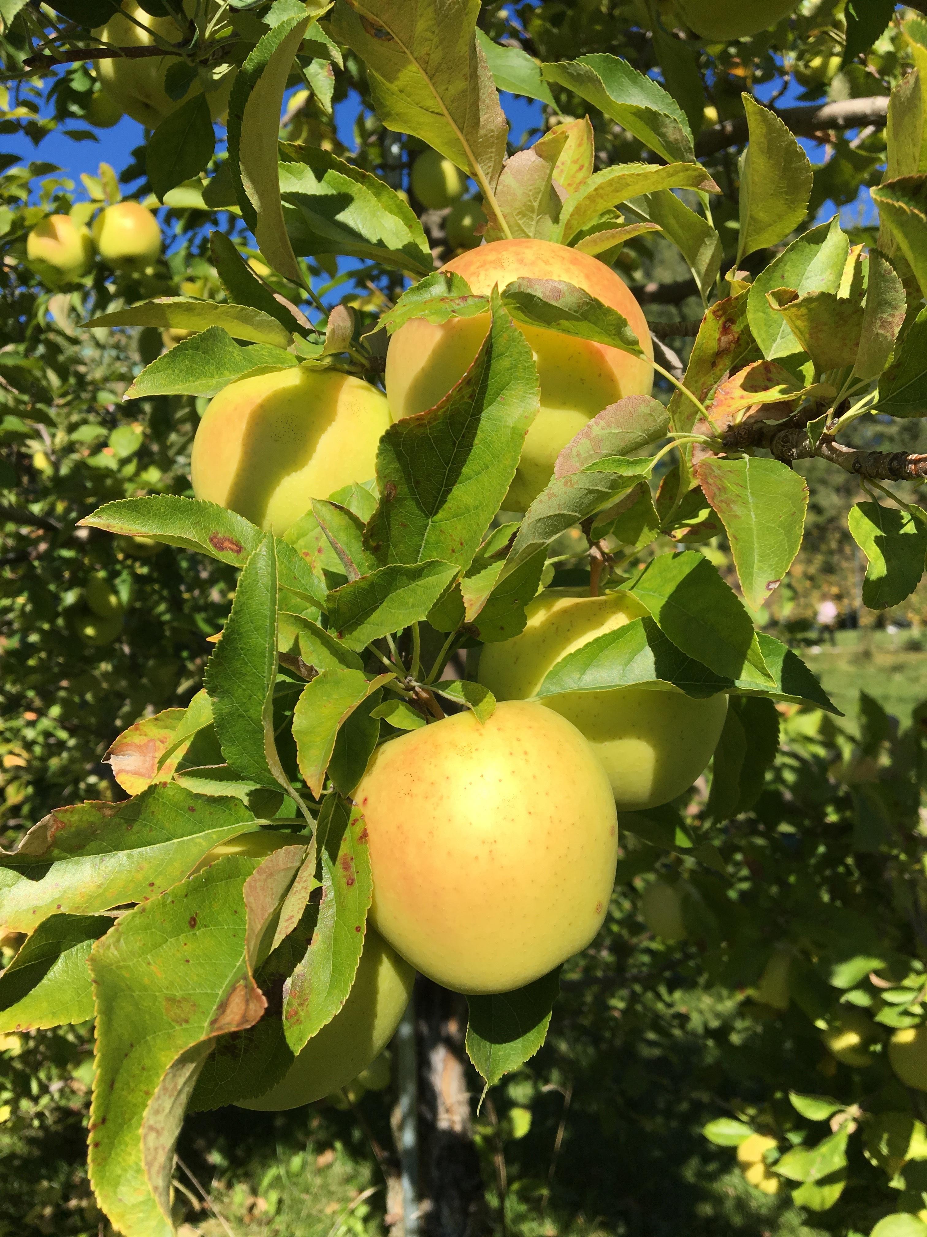 76+ Gambar Apel Emas HD
