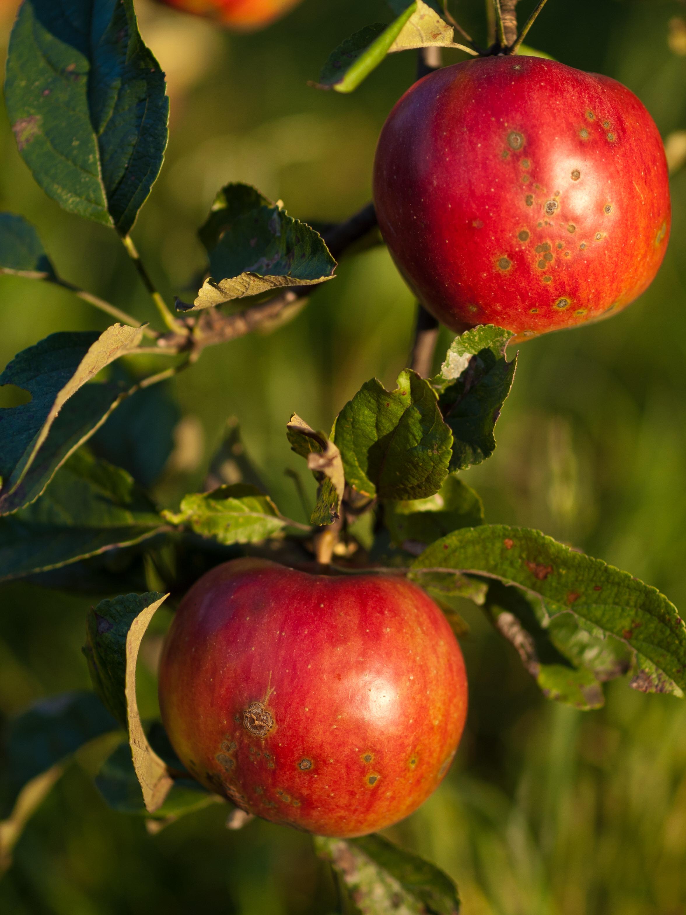 Gambar Apel Pohon Cabang Menanam Buah Bunga Merah
