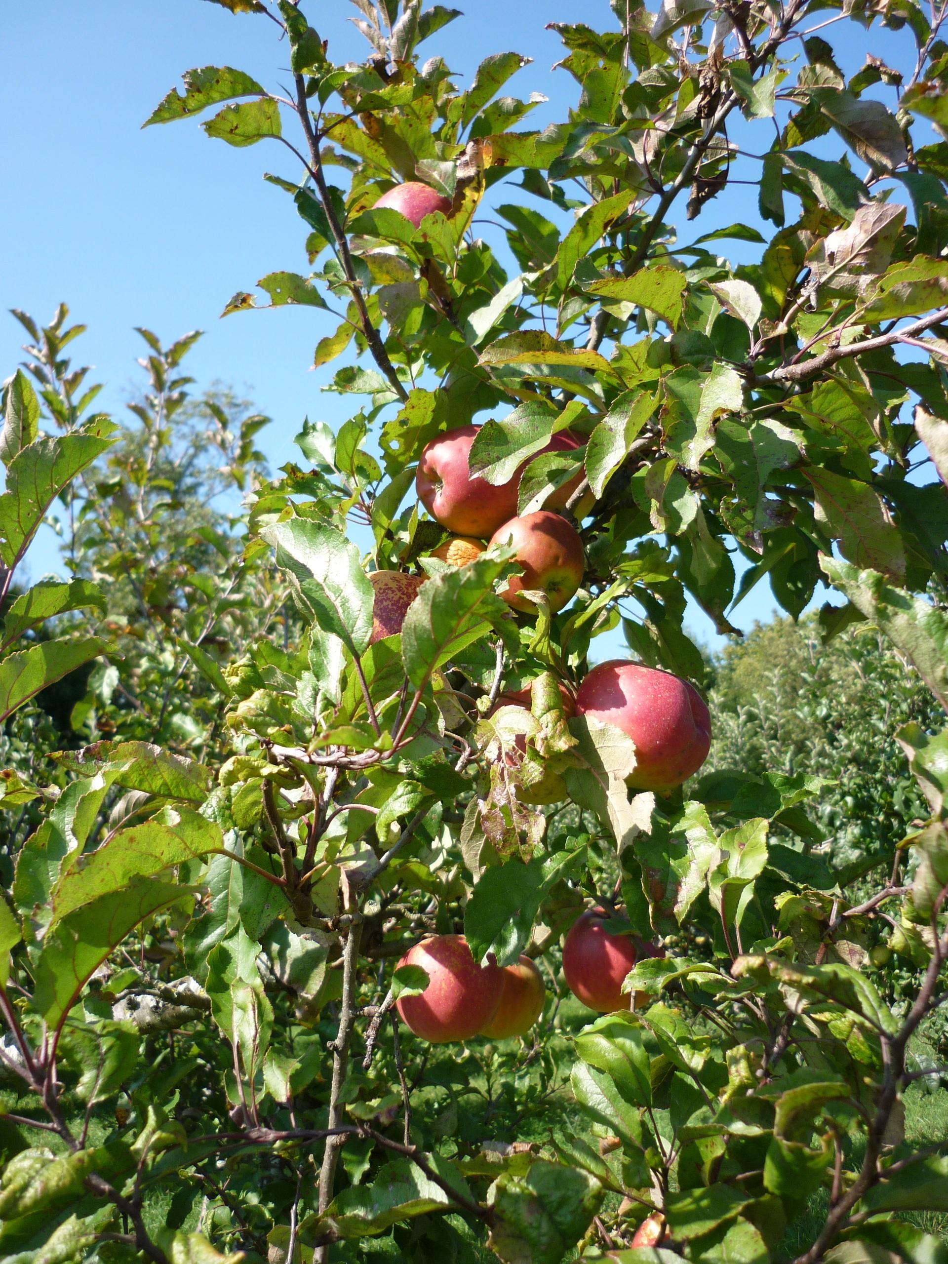 Fotos gratis manzana rbol rama fruta flor huerta for Arboles frutales de hoja perenne para jardin