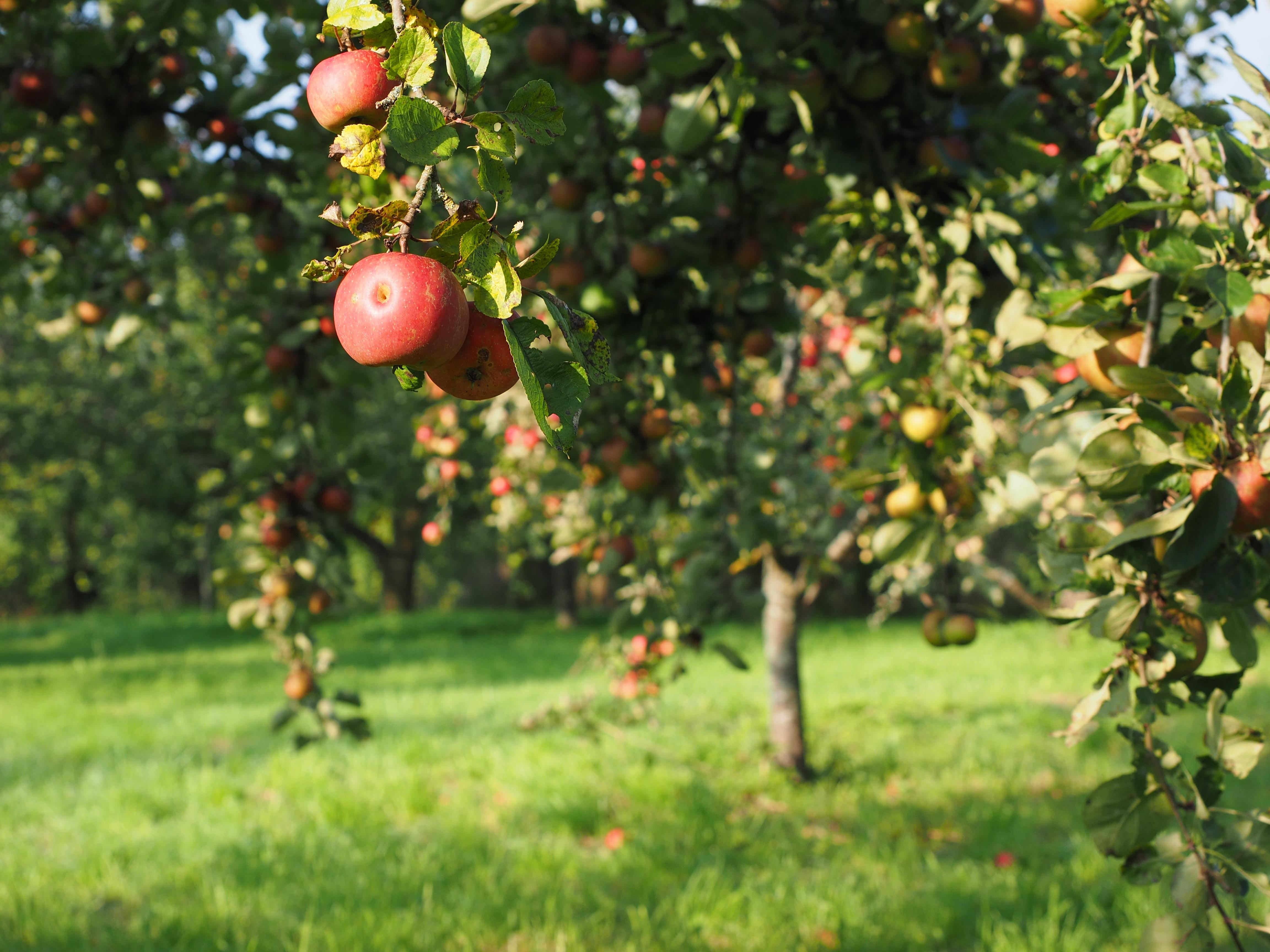 Картинки с яблоней и яблоками