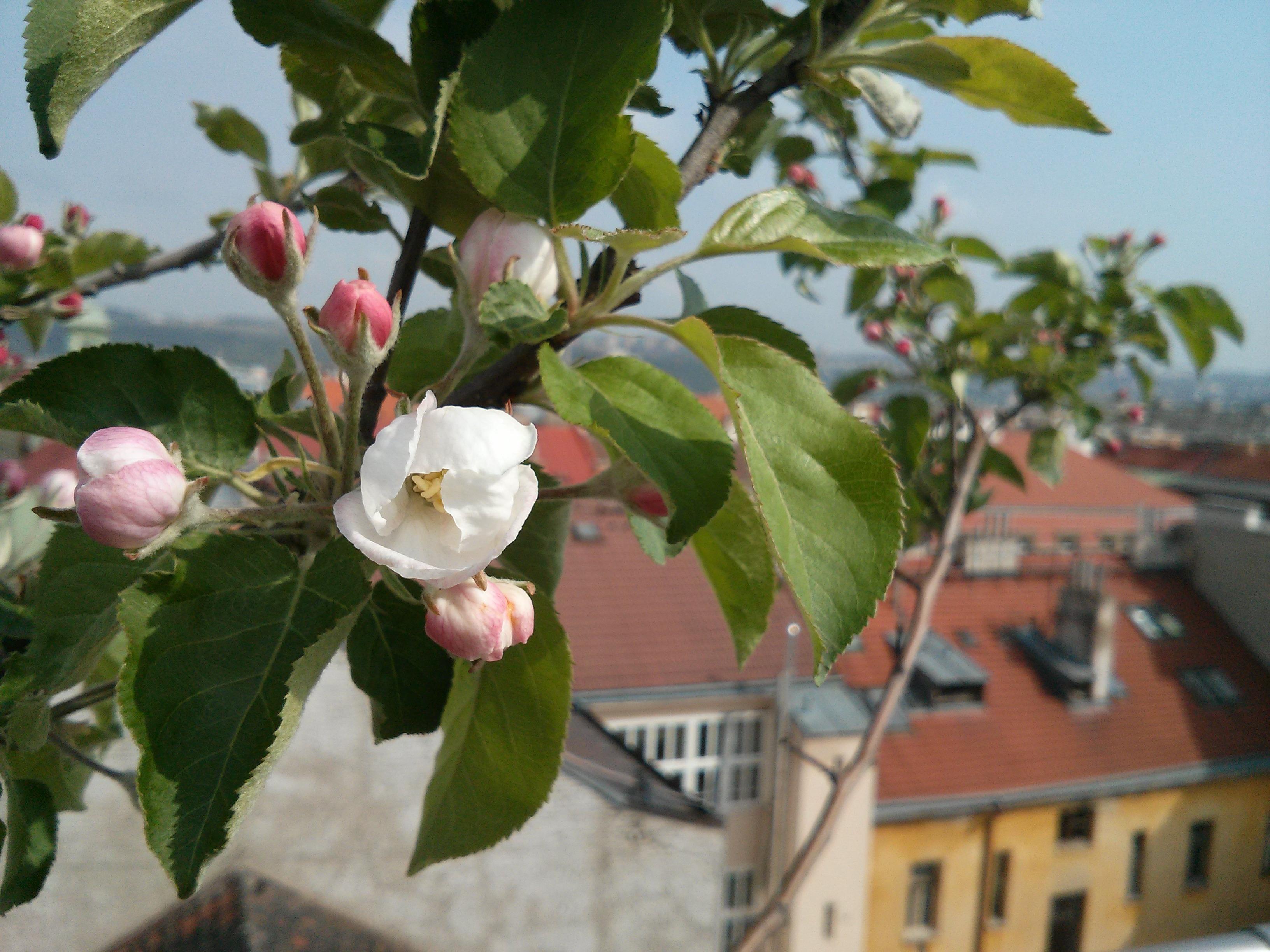 images gratuites pomme arbre la nature branche fleur floraison aliments printemps. Black Bedroom Furniture Sets. Home Design Ideas