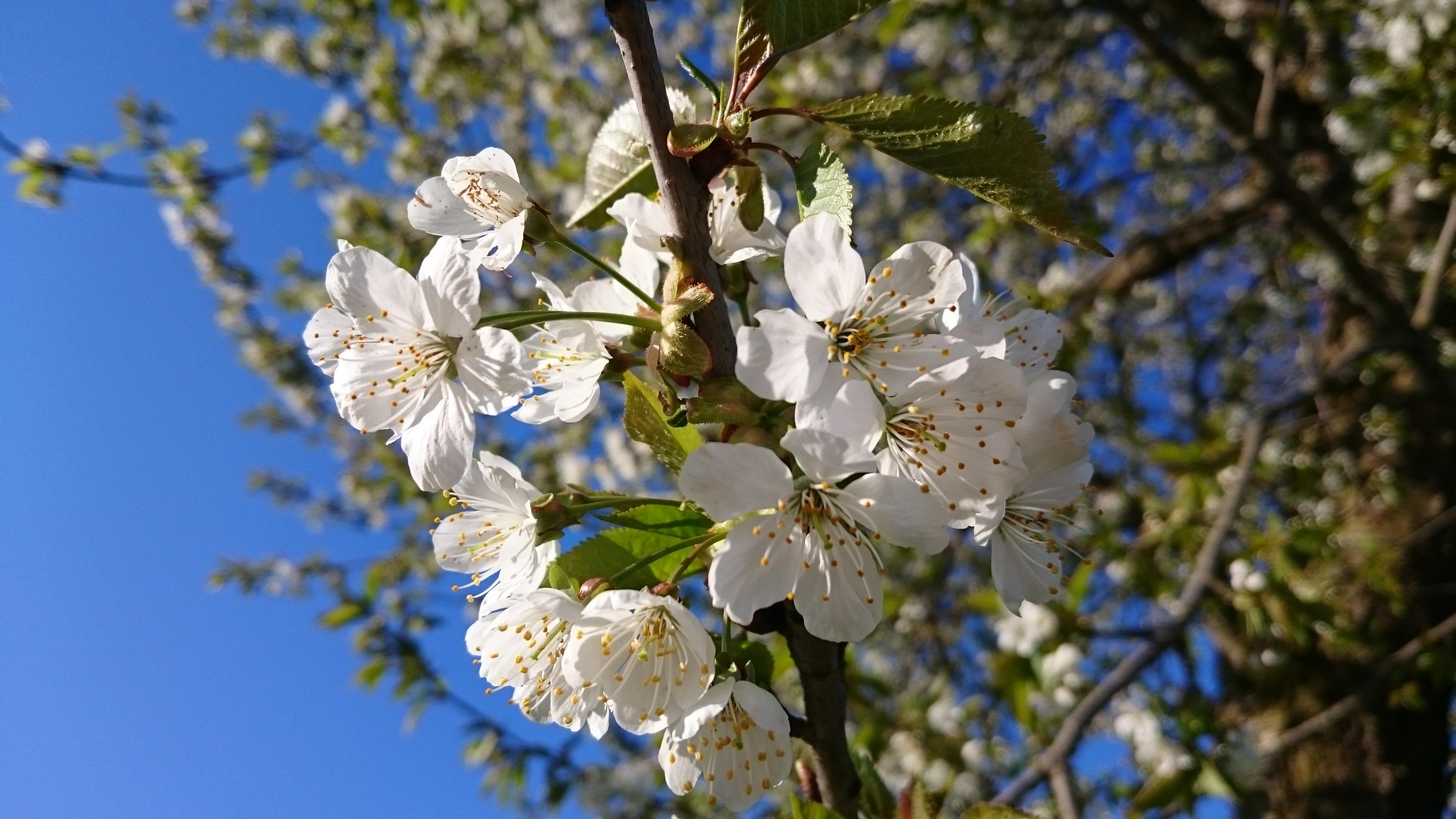 Kostenlose Foto   Apfel  Baum  Natur  Ast  Bl U00fchen  Blume