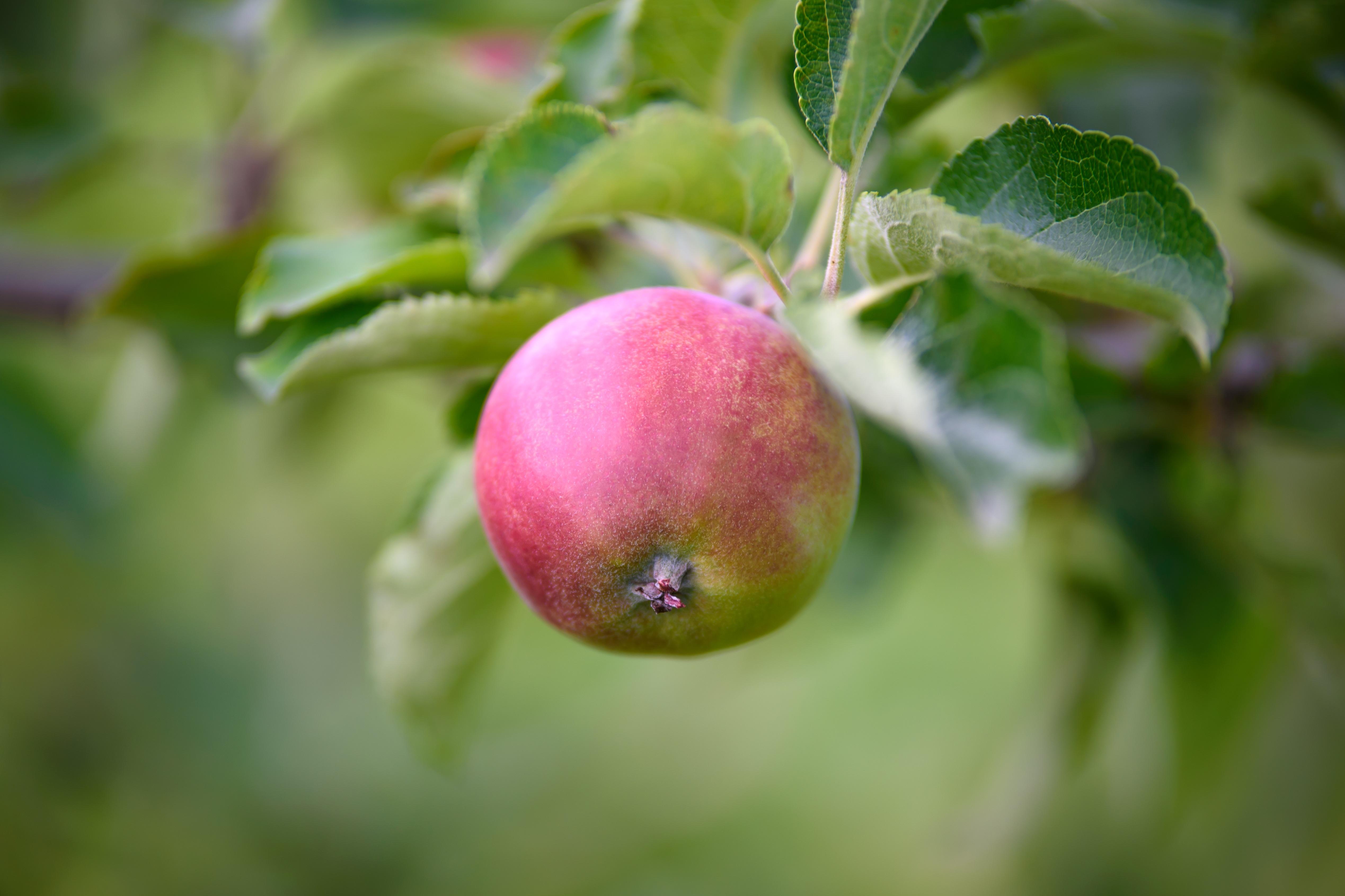 Картинки яблоки яблоня
