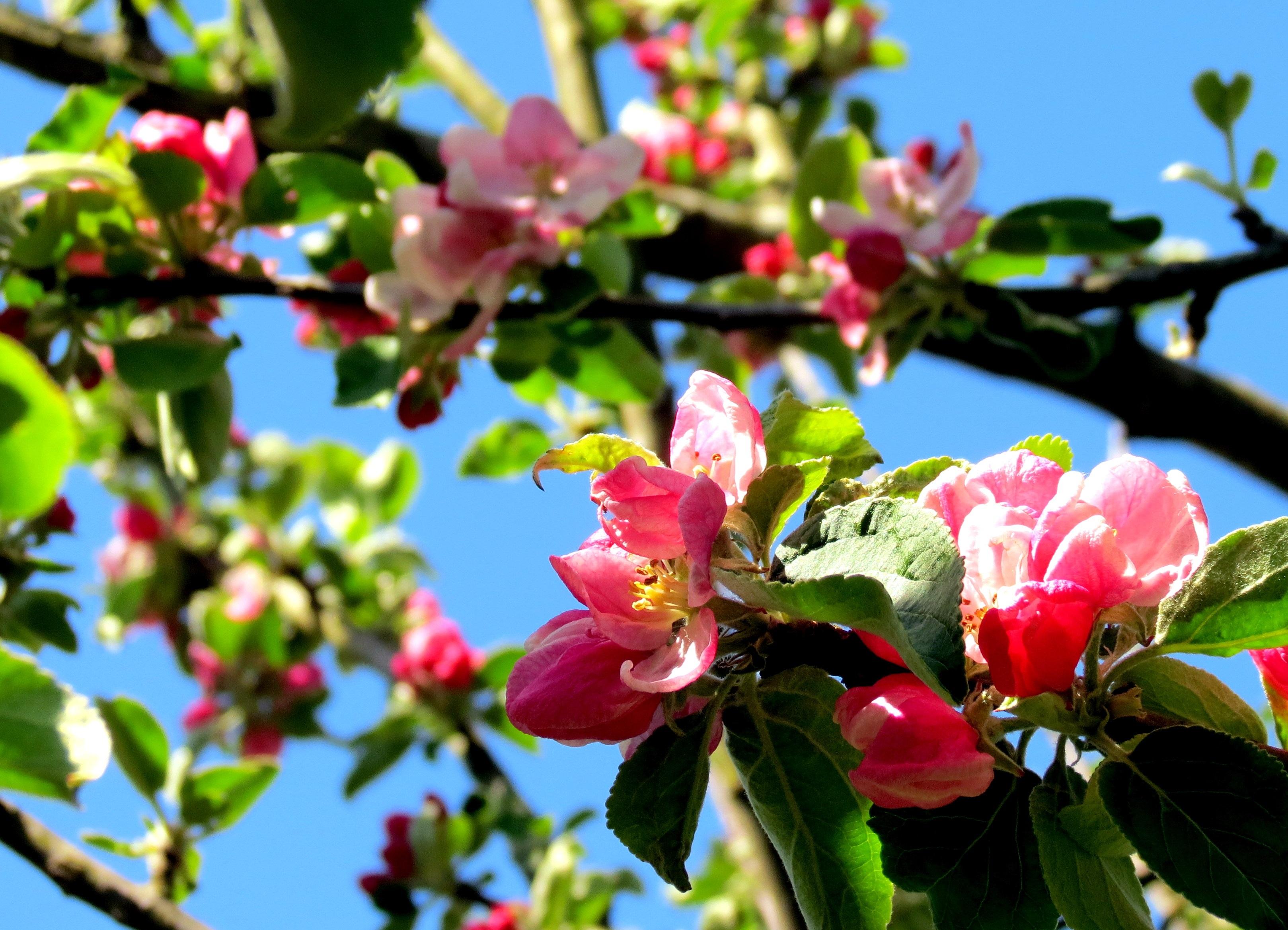 Free Images Apple Tree Nature Branch Blossom Leaf Flower