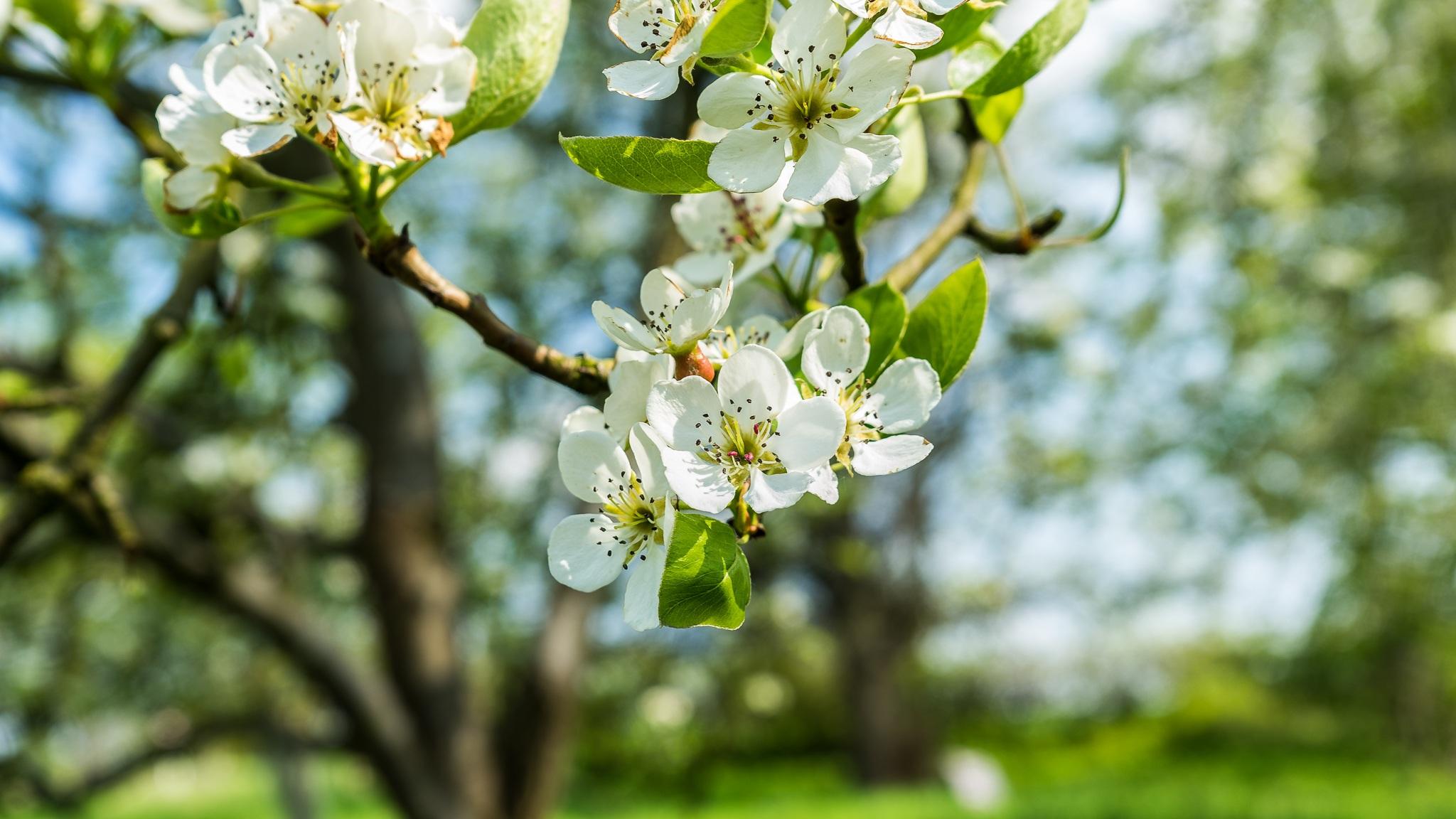 rvore natureza ramo flor plantar luz solar flor comida primavera verde produzir parque botnica flora limo flores silvestres flores