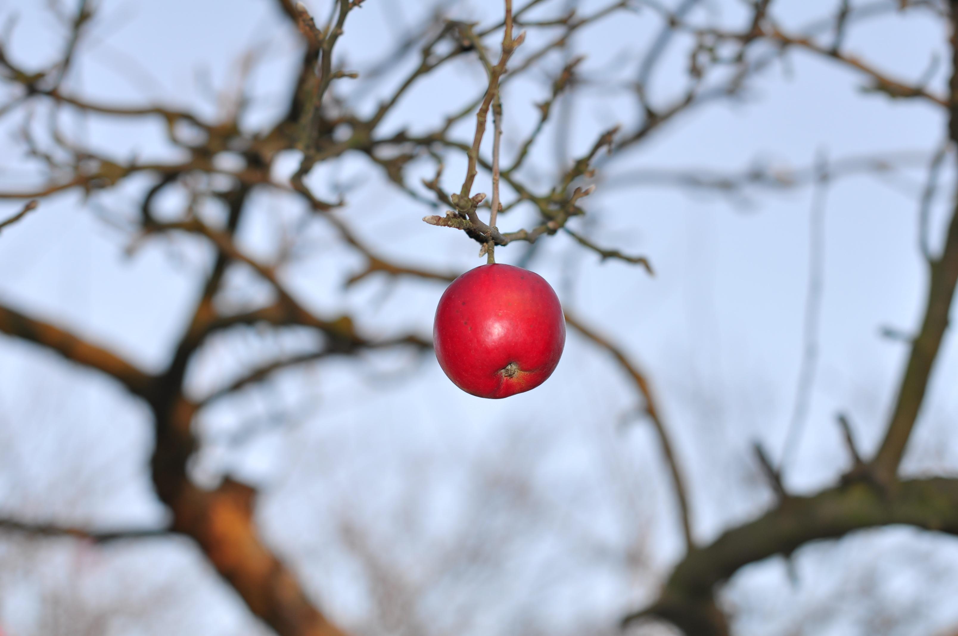 картинка осенней яблони с одним яблоком вид