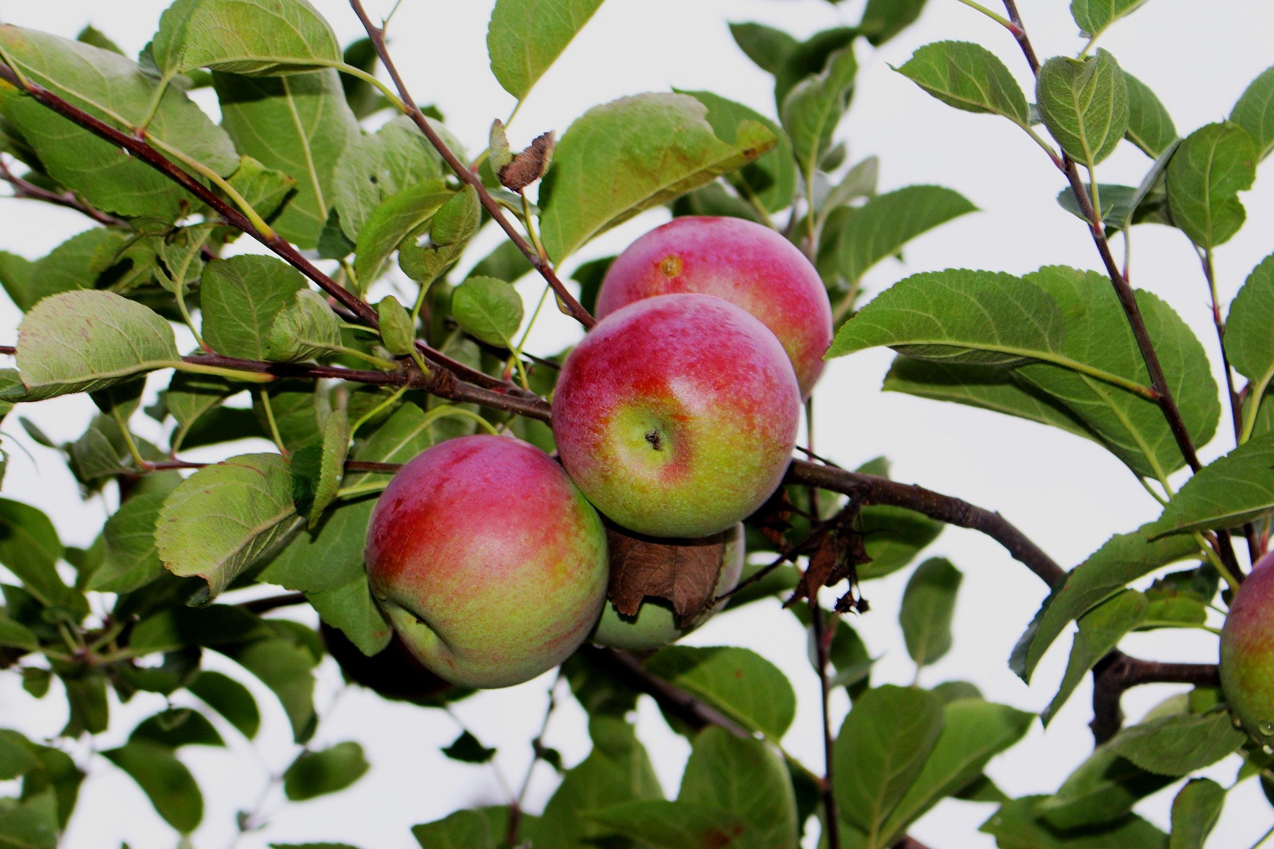 Яблоки на яблоне картинки