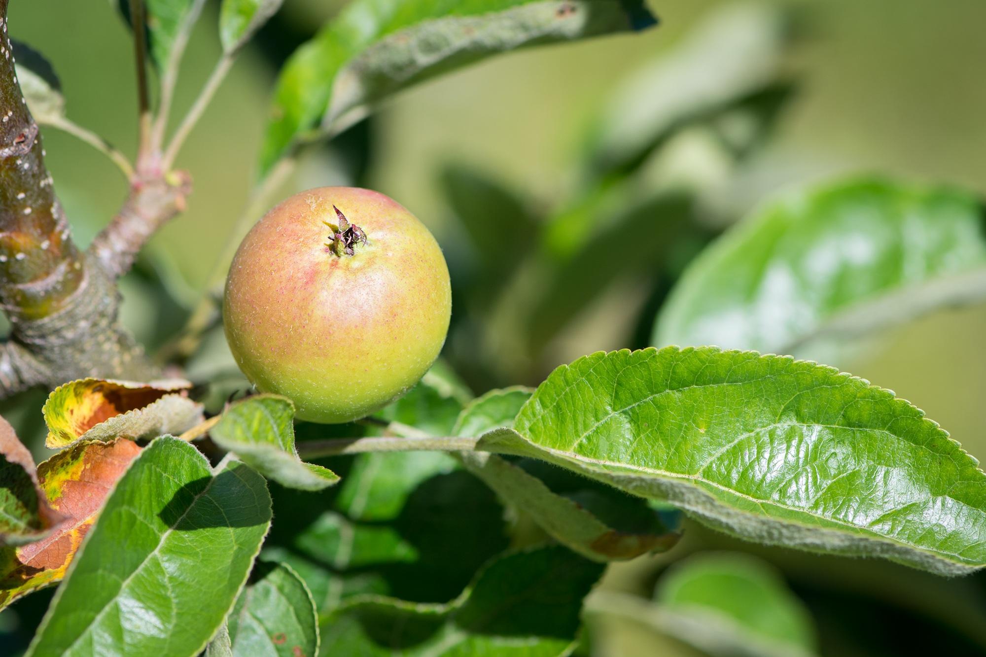 тех цветы яблоки листья картинки боится