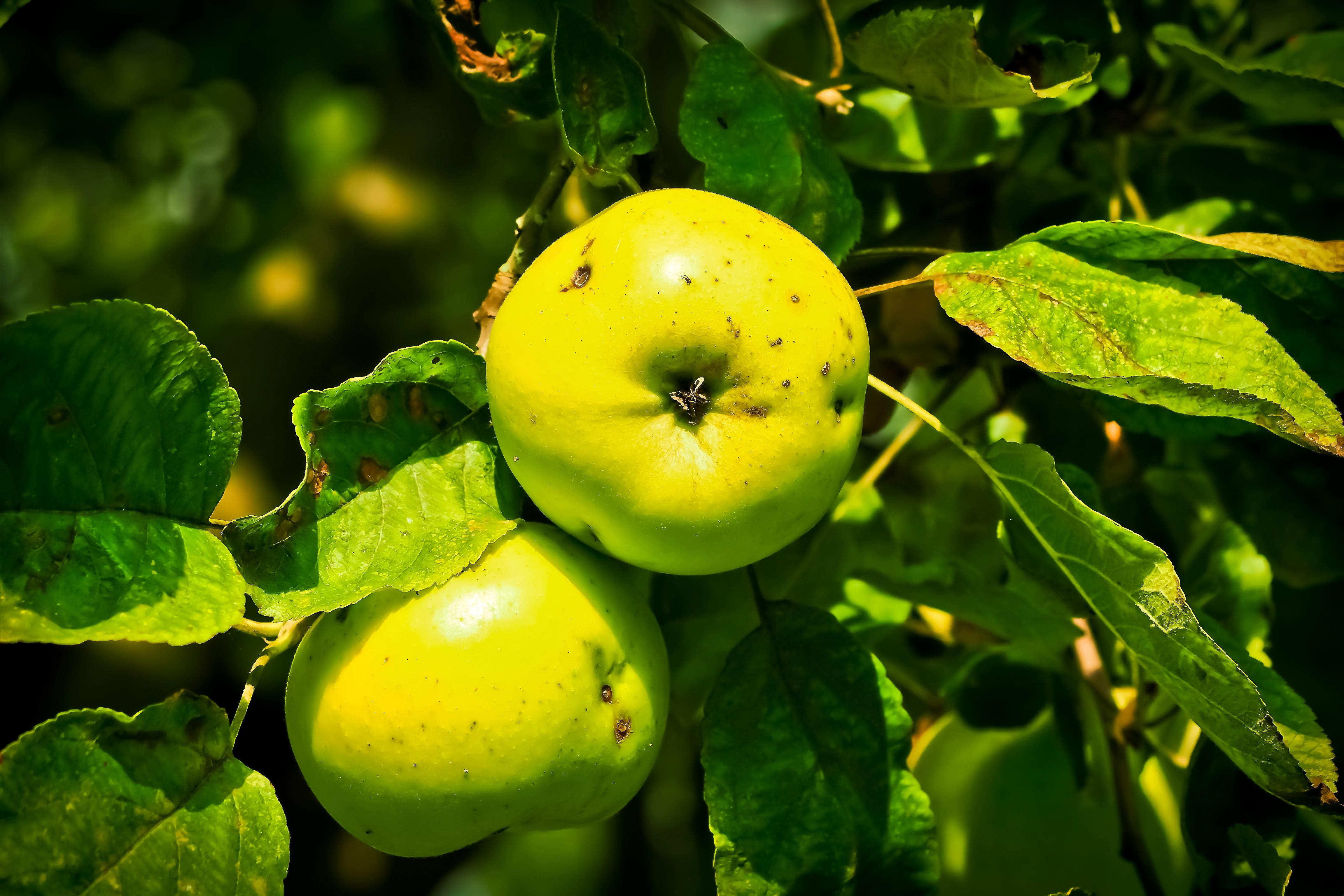 kostenlose foto baum natur ast frucht s sonnenlicht blatt blume obstgarten sommer. Black Bedroom Furniture Sets. Home Design Ideas