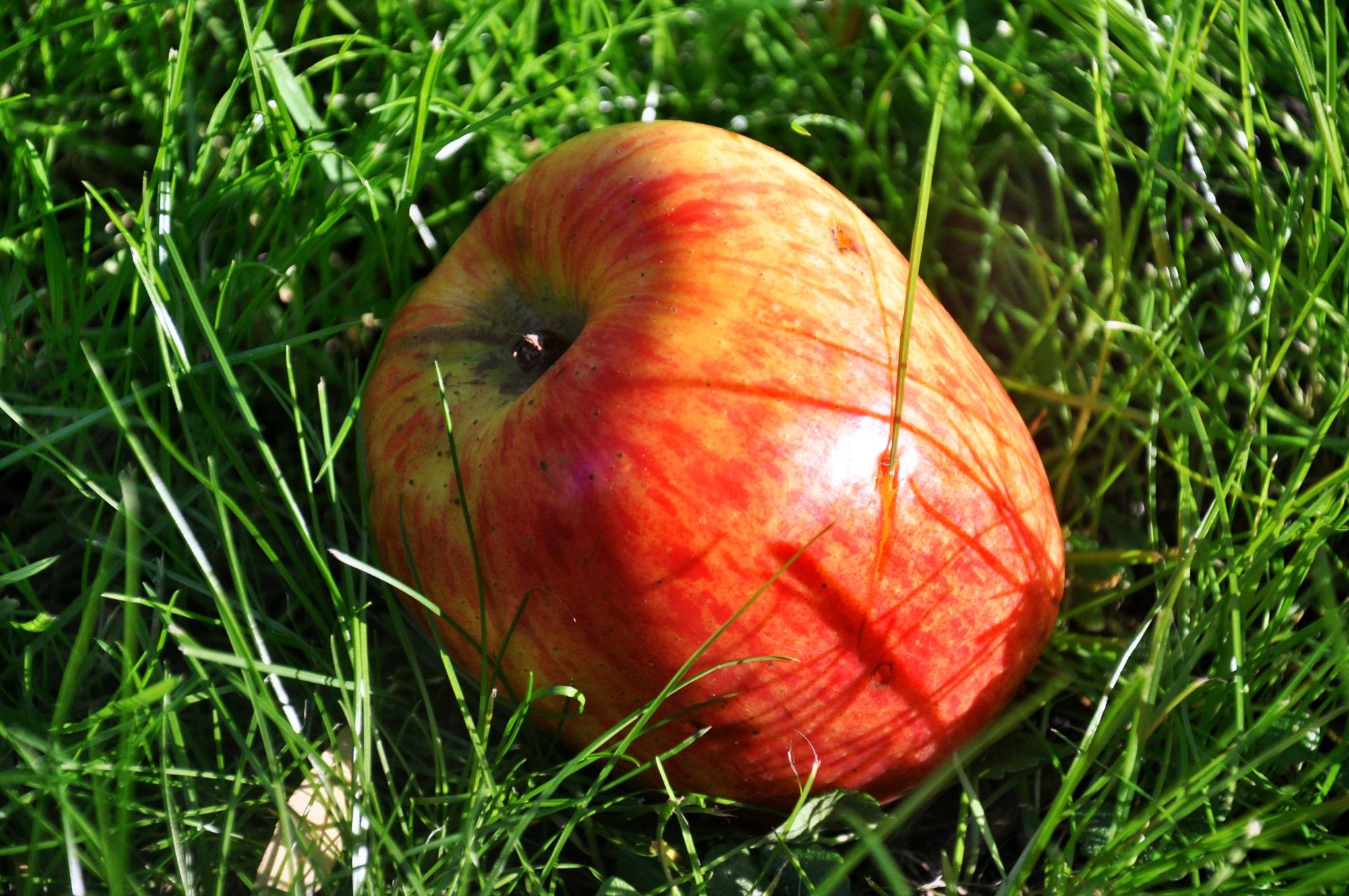 Gambar pohon alam rumput menanam daun bunga matang hijau menghasilkan musim gugur kuning Flora merapatkan apel merah buah segar t