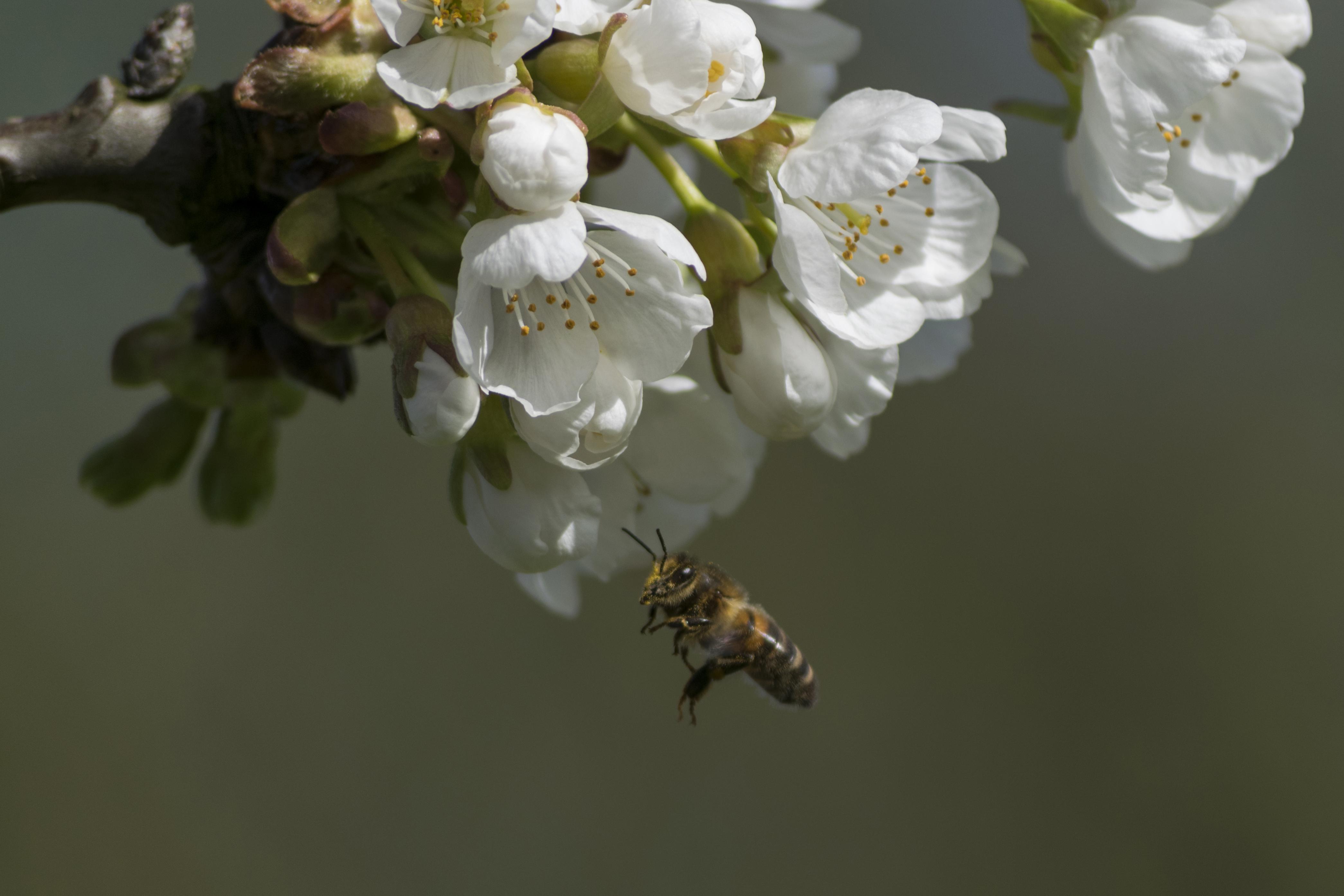 всегда только картинка пчела на цветке яблони самых распространенных