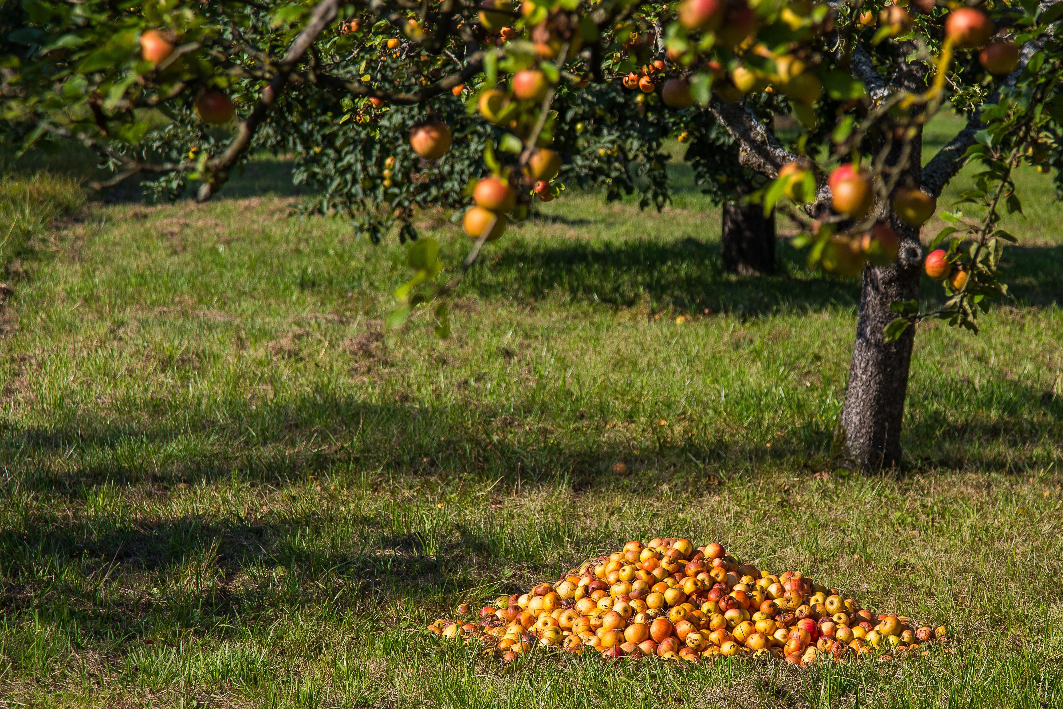 картинки сад с яблонями плодов проводят утром