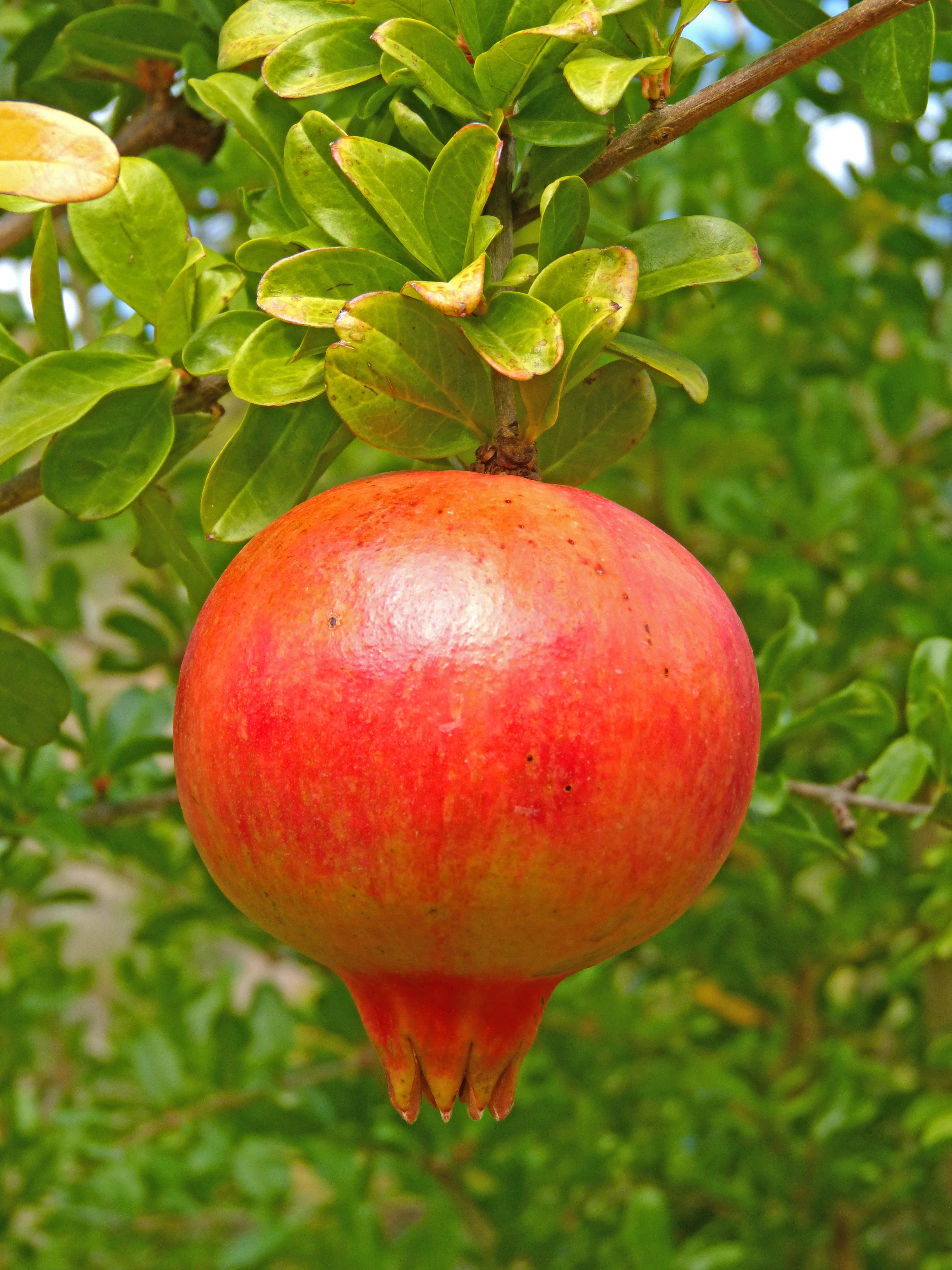 free images apple tree fruit flower orchard food harvest
