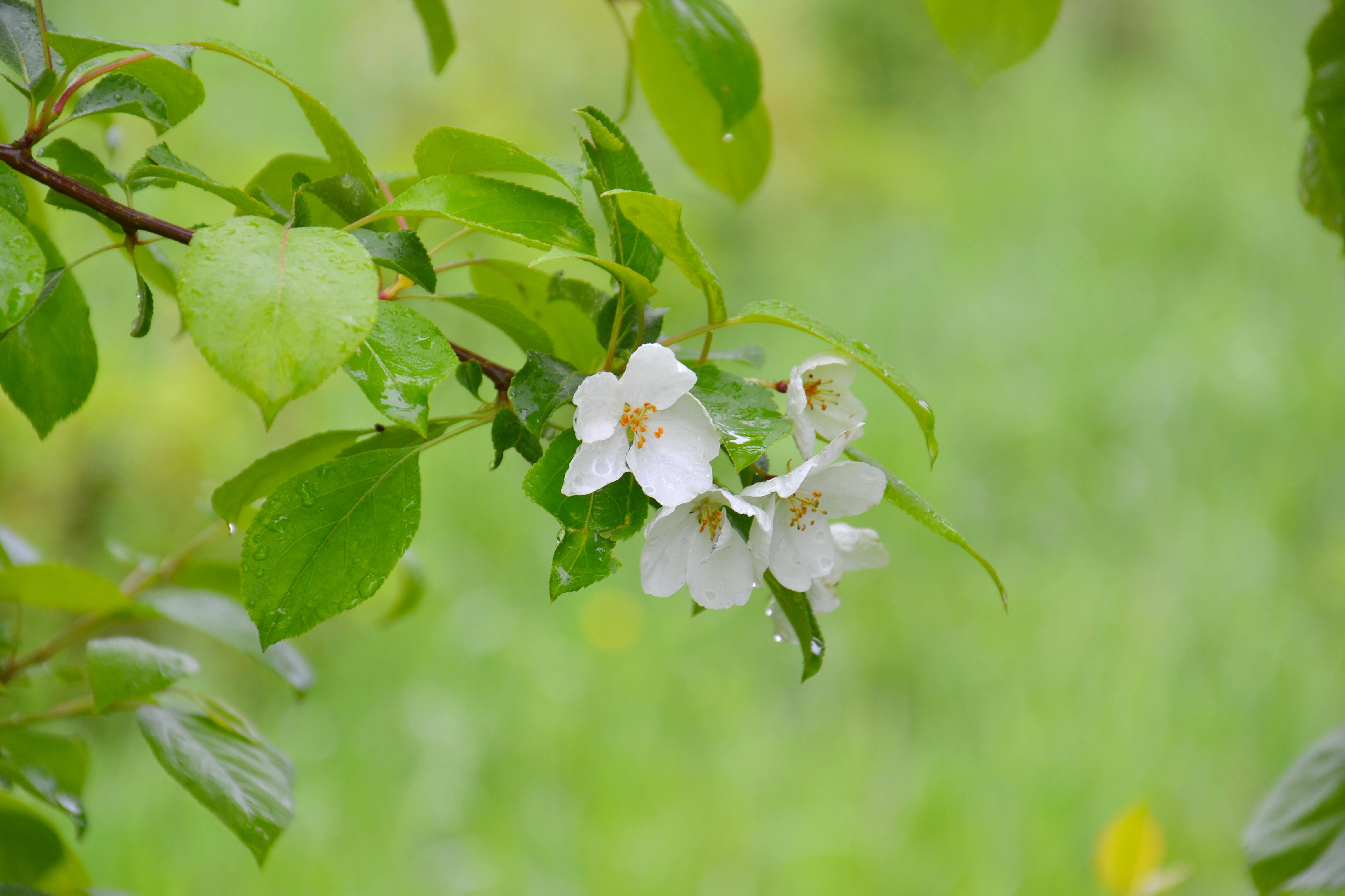 дешевые цветы яблоки листья картинки крыша