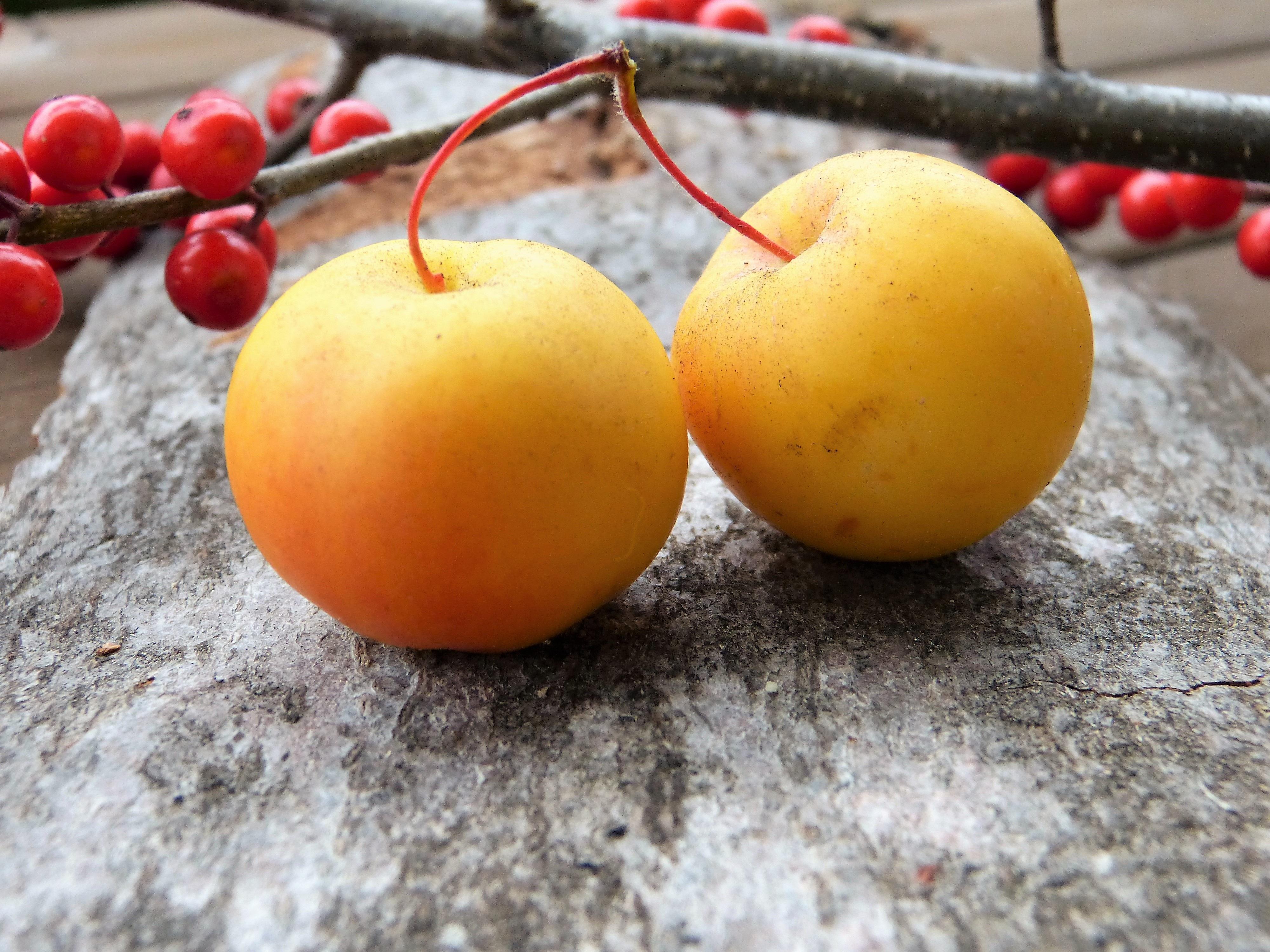 dekat benih burung kedatangan burung burung buah buahan dimakan perhiasan pohon hias tanaman berbunga keluarga mawar zieraepfel buah hias