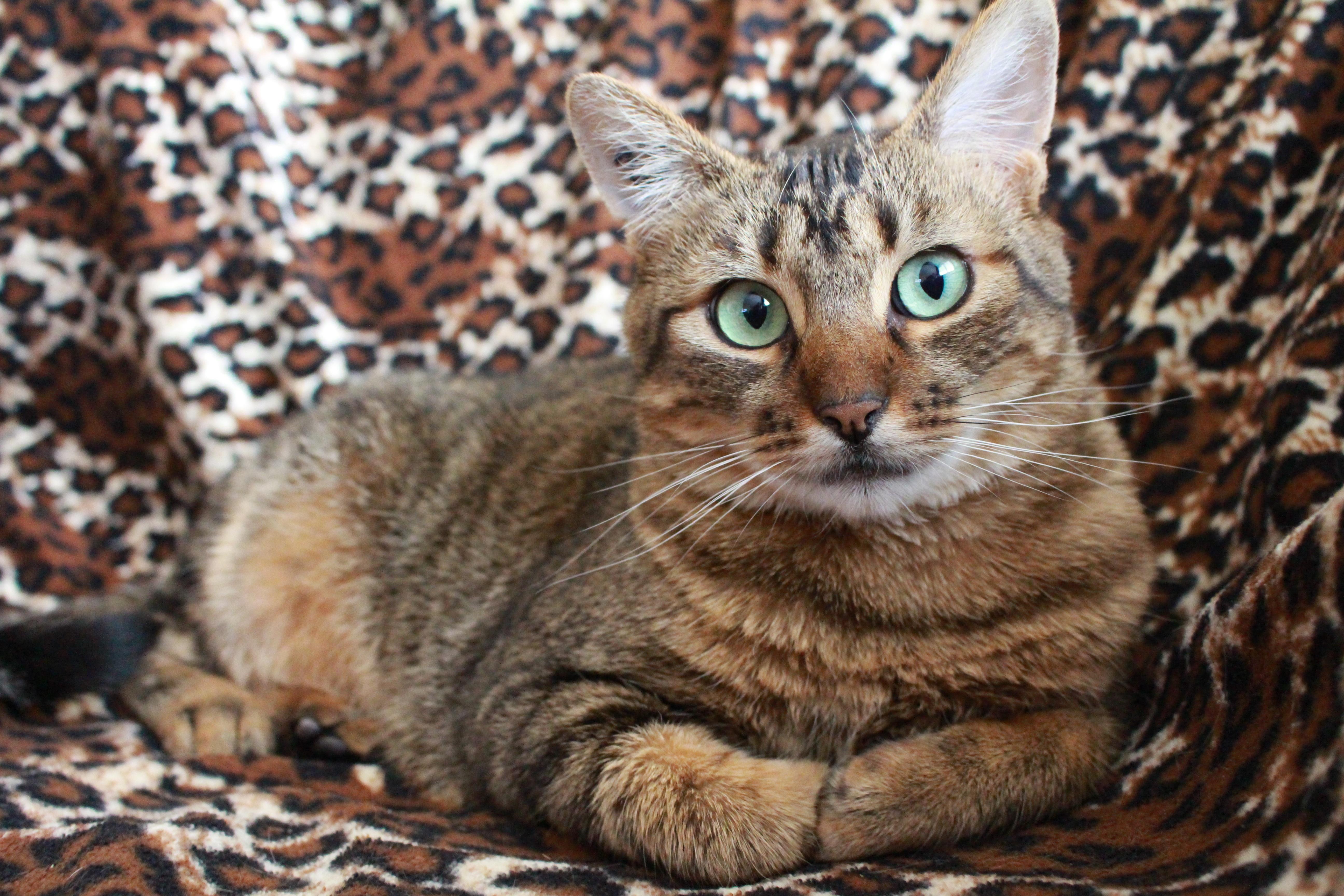 Free Images : asian, wildlife, pet, fur, kitten, feline, fauna ...
