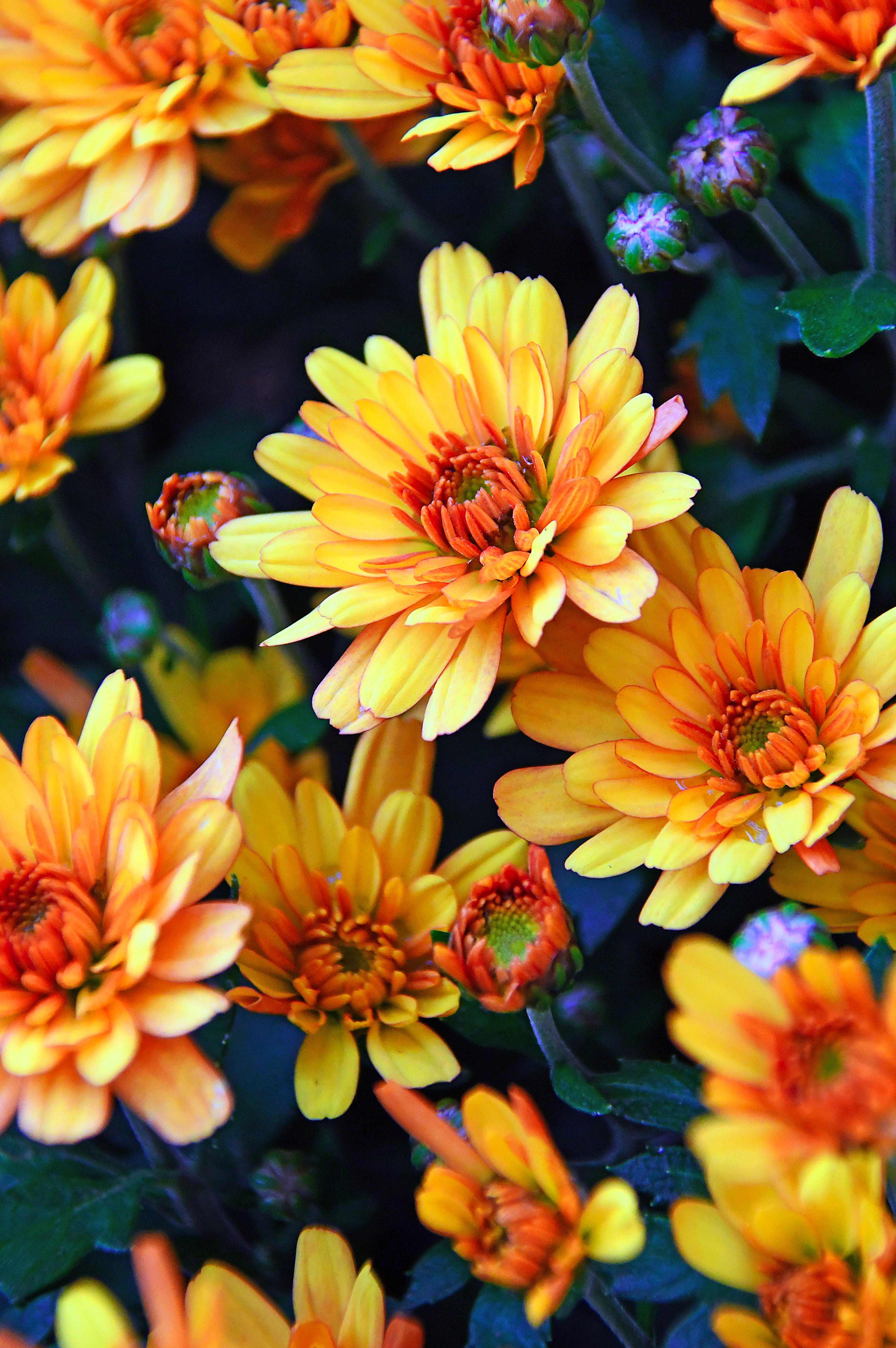 Poze Toamnă Fundal Frumoasa A Inflori Botanică
