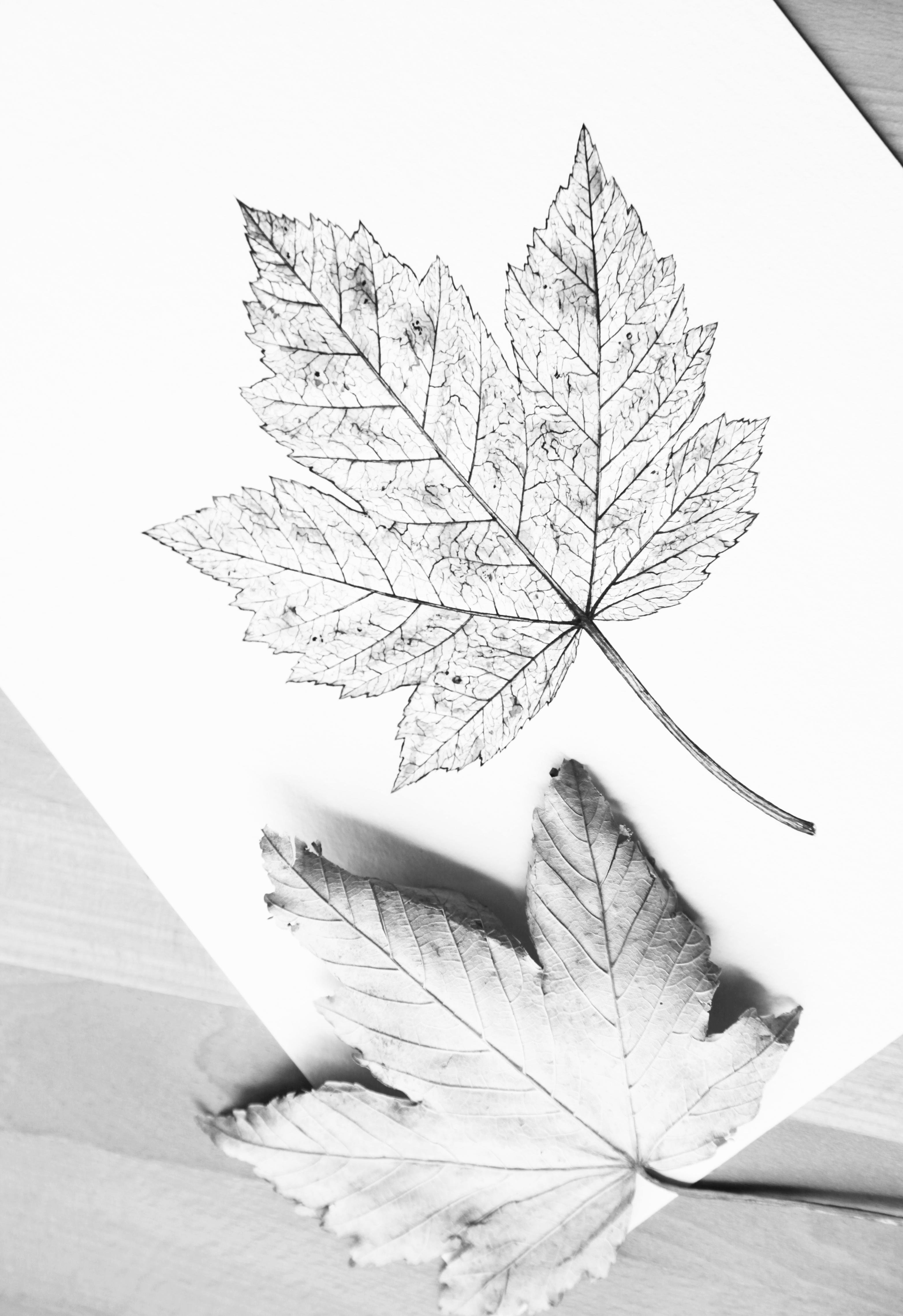 Fotograf Sonbahar Yapragi Yaprak Siyah Ve Beyaz Tek Renkli