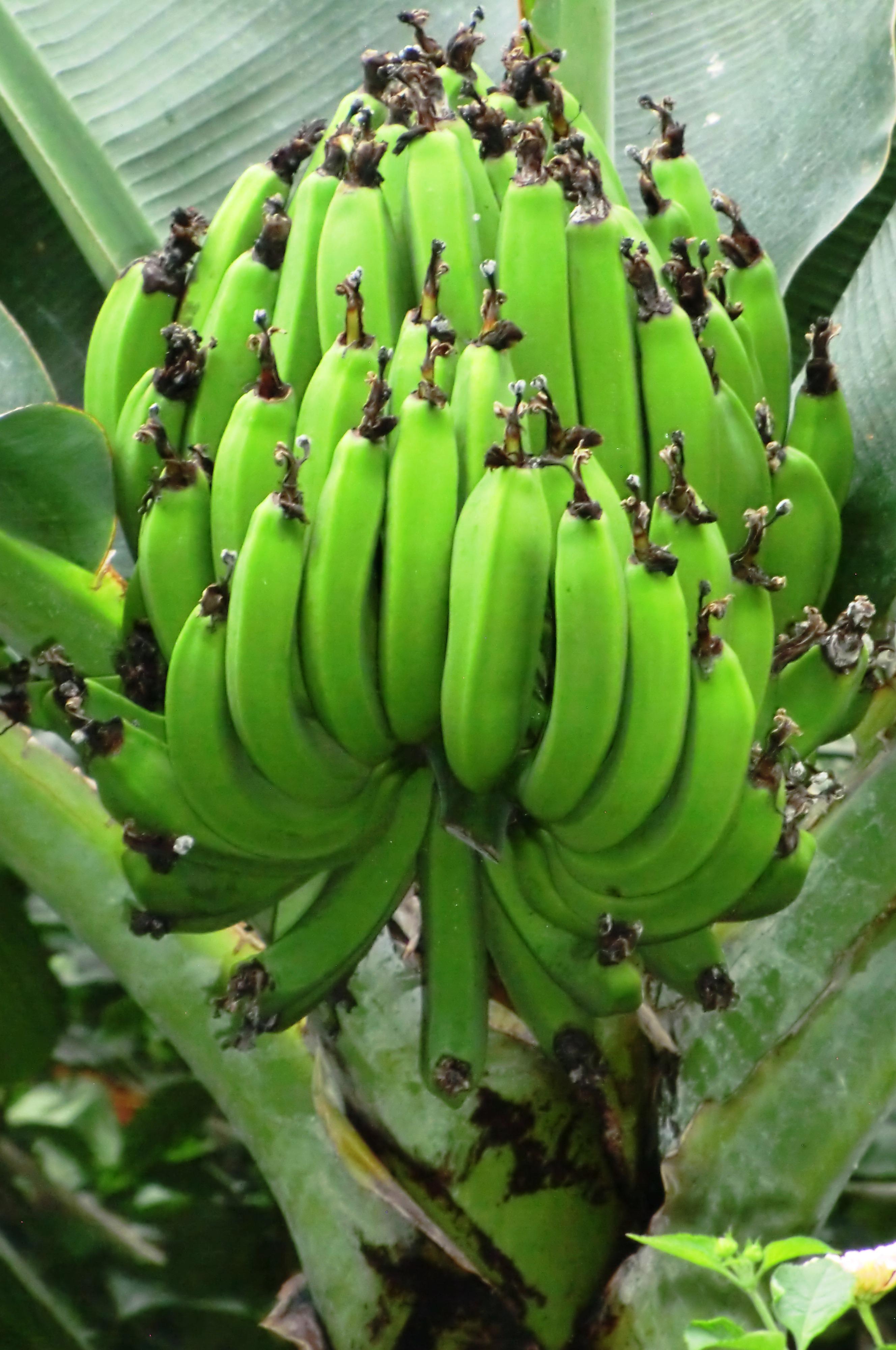 Free Images Banana Tree Banana Leaf Fruit Ripening Food