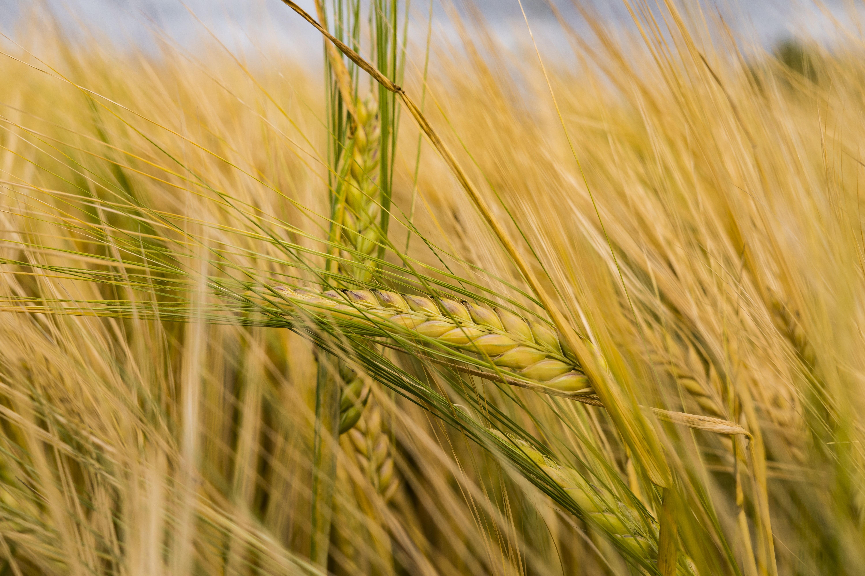 выше картинки пшеница ячмень рожь рома налажено многих