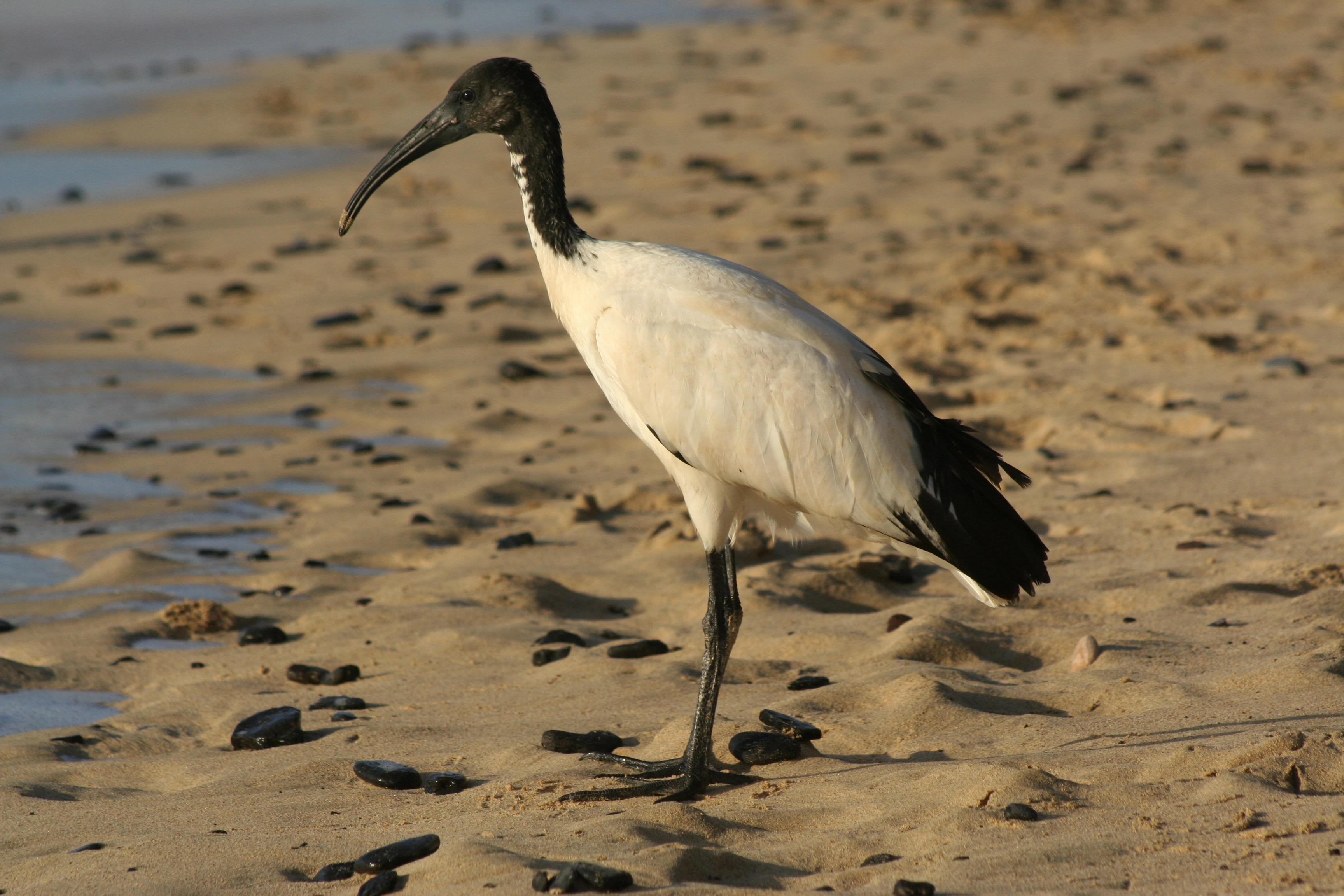 Free Images : beach, ibis, fauna, beak, shorebird ...