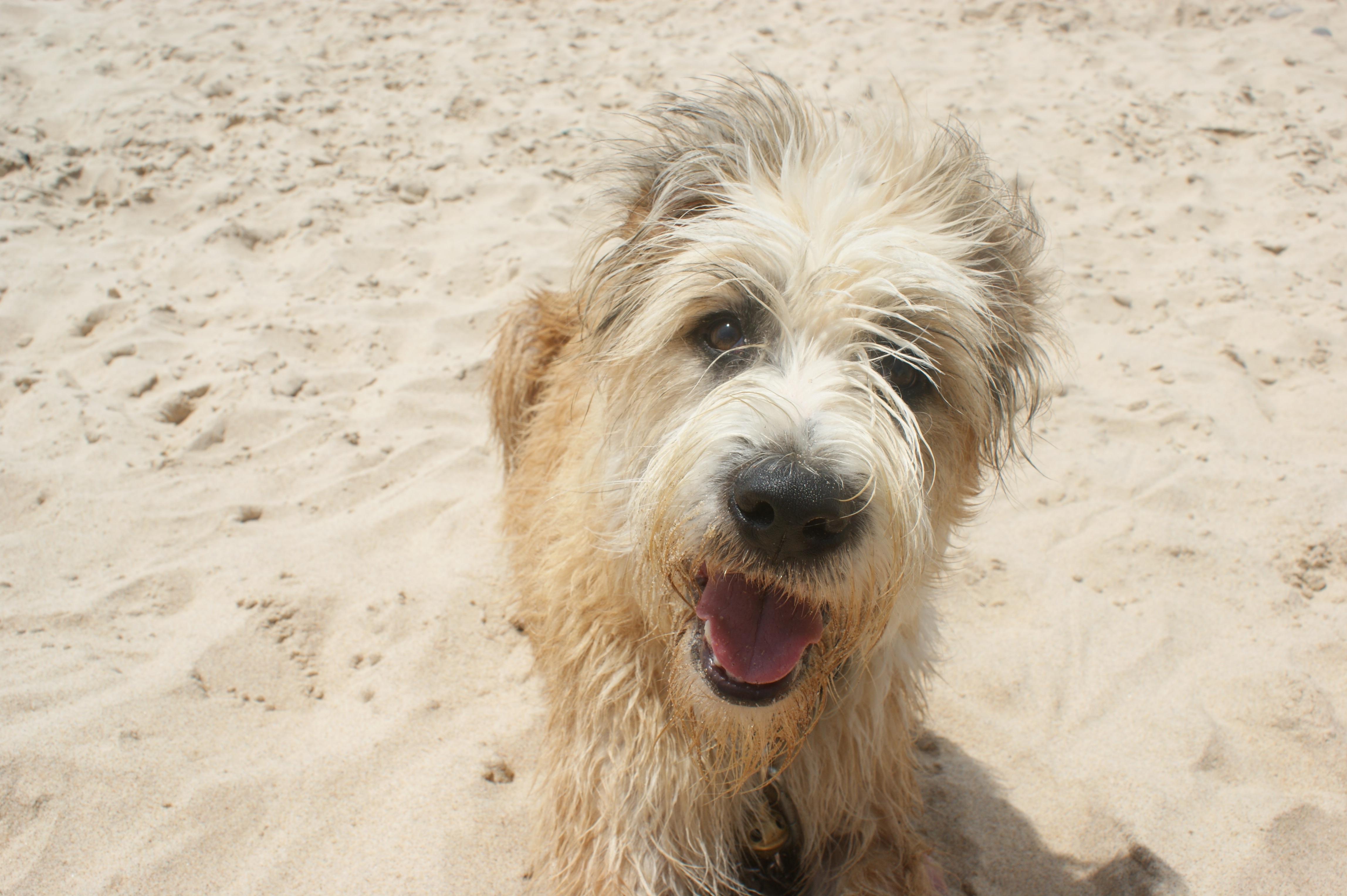 Free Images : beach, smile, vertebrate, portugal, dog breed ...