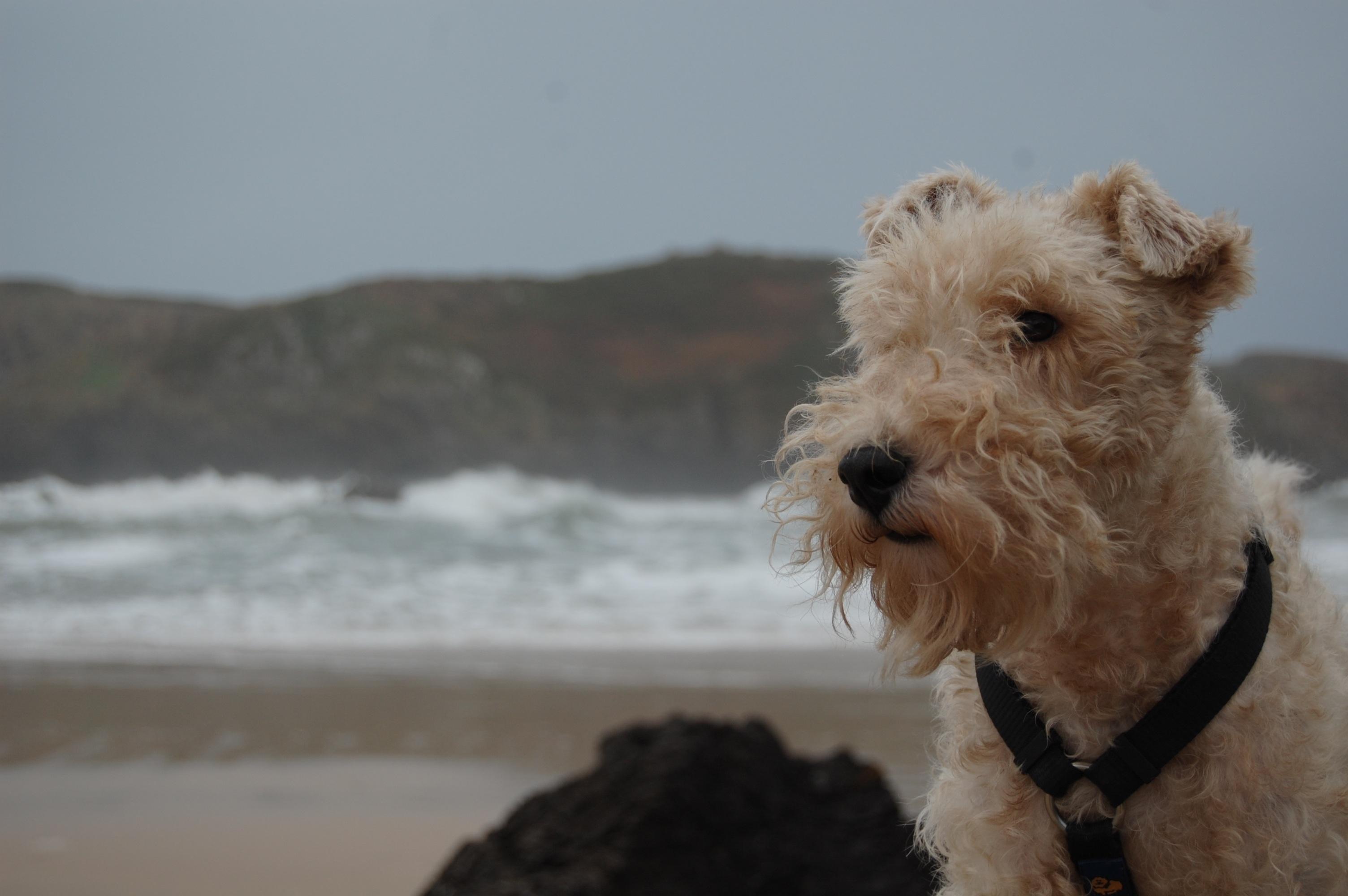 Kostenlose foto : Strand, Wirbeltier, Asturien, Tierporträt, Irisch ...