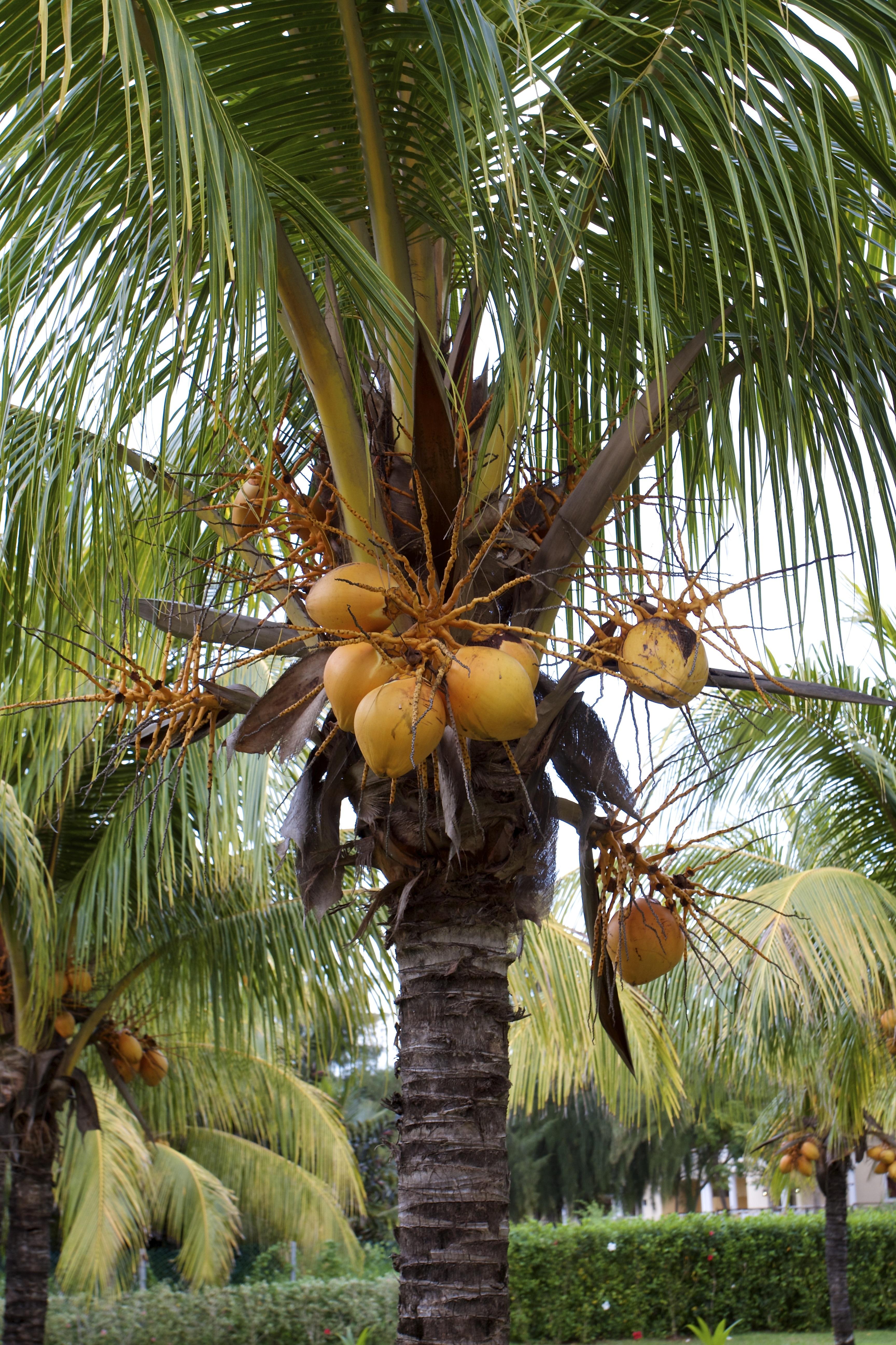 Fotos gratis playa paisaje rbol naturaleza fruta for Arboles para plantar en verano