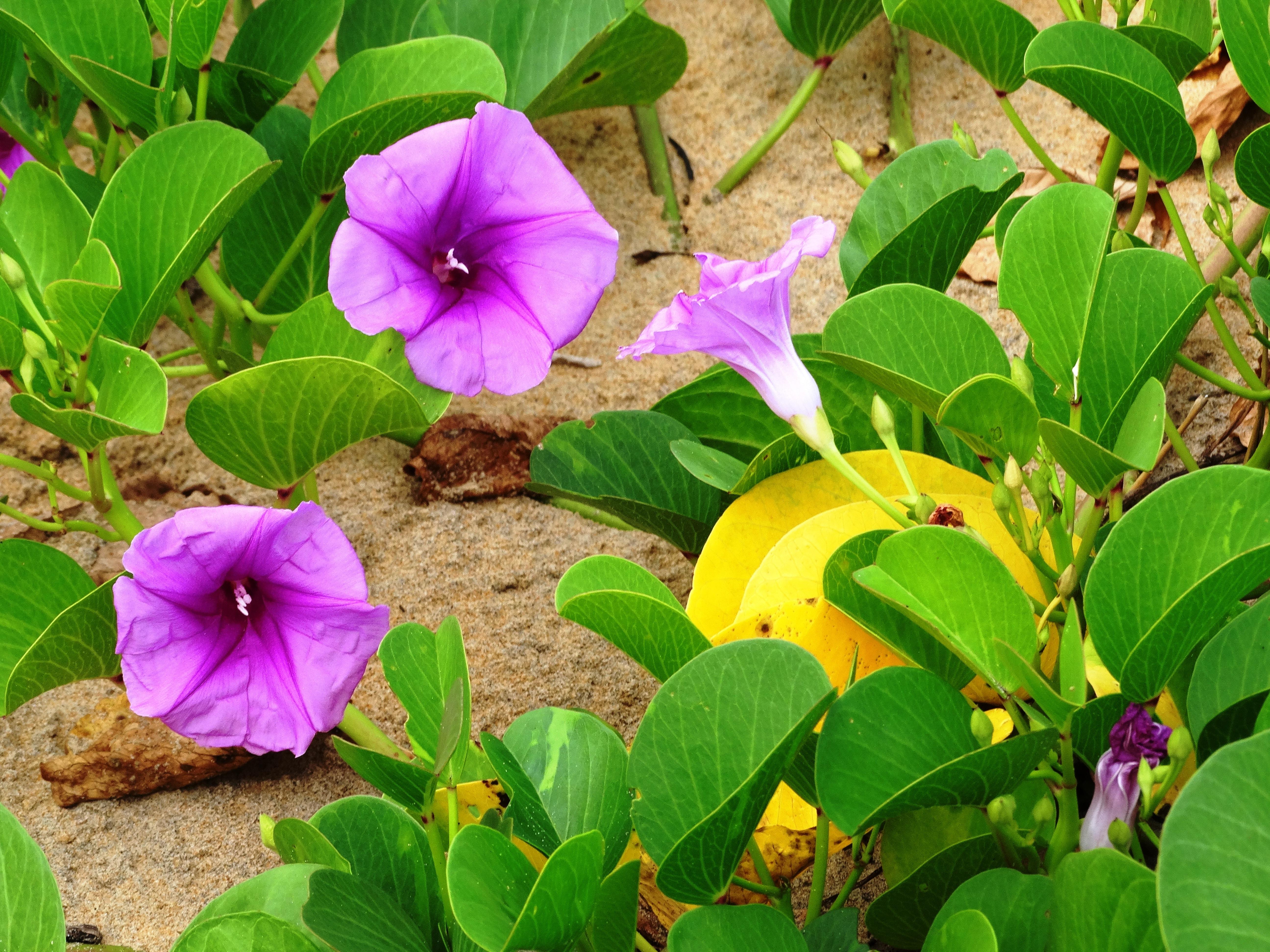 Bildet : Strand, natur, anlegg, blad, blomst, petal, tropisk ...