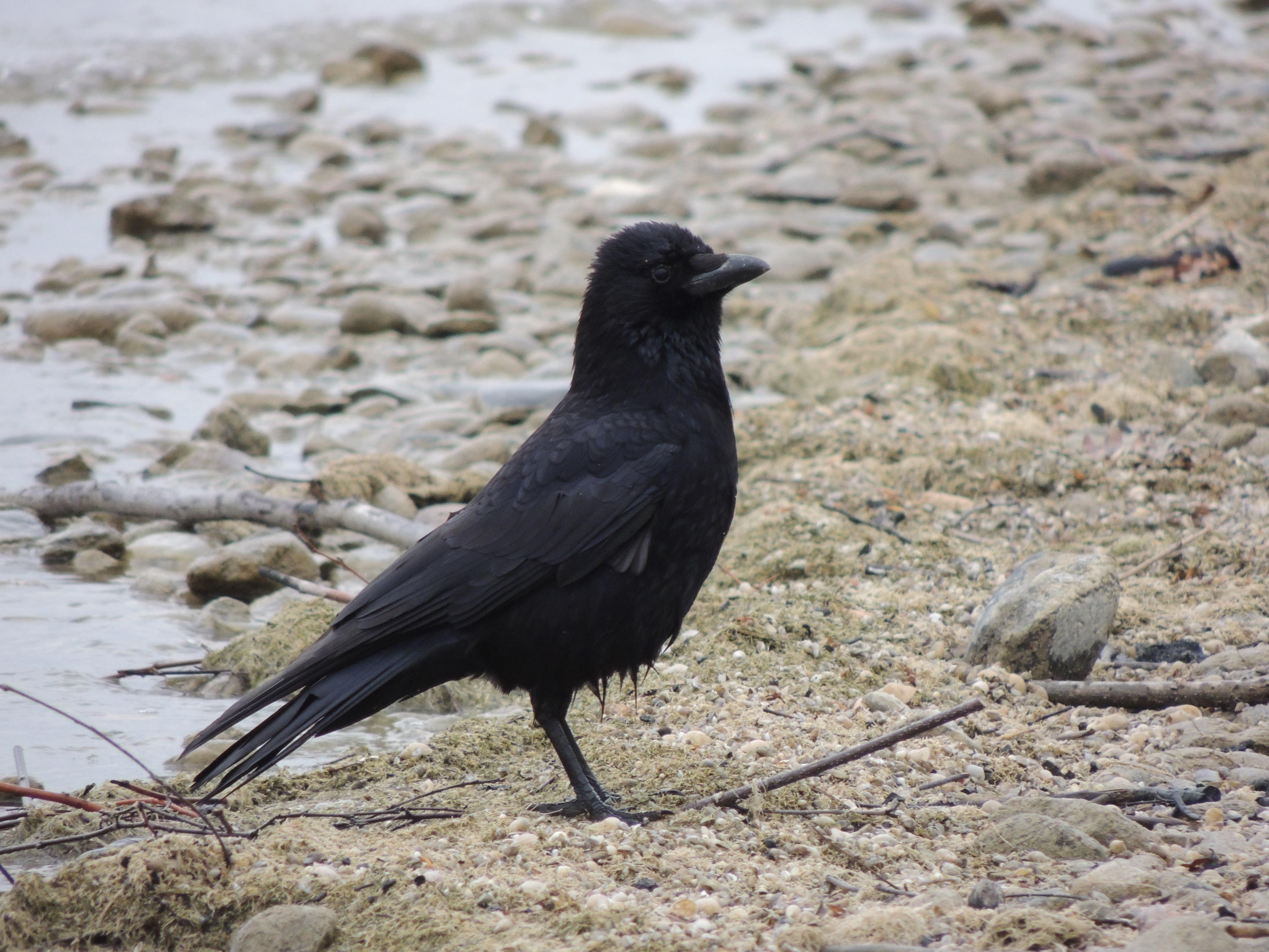 которое черные птицы имена и фото объявлений продажа