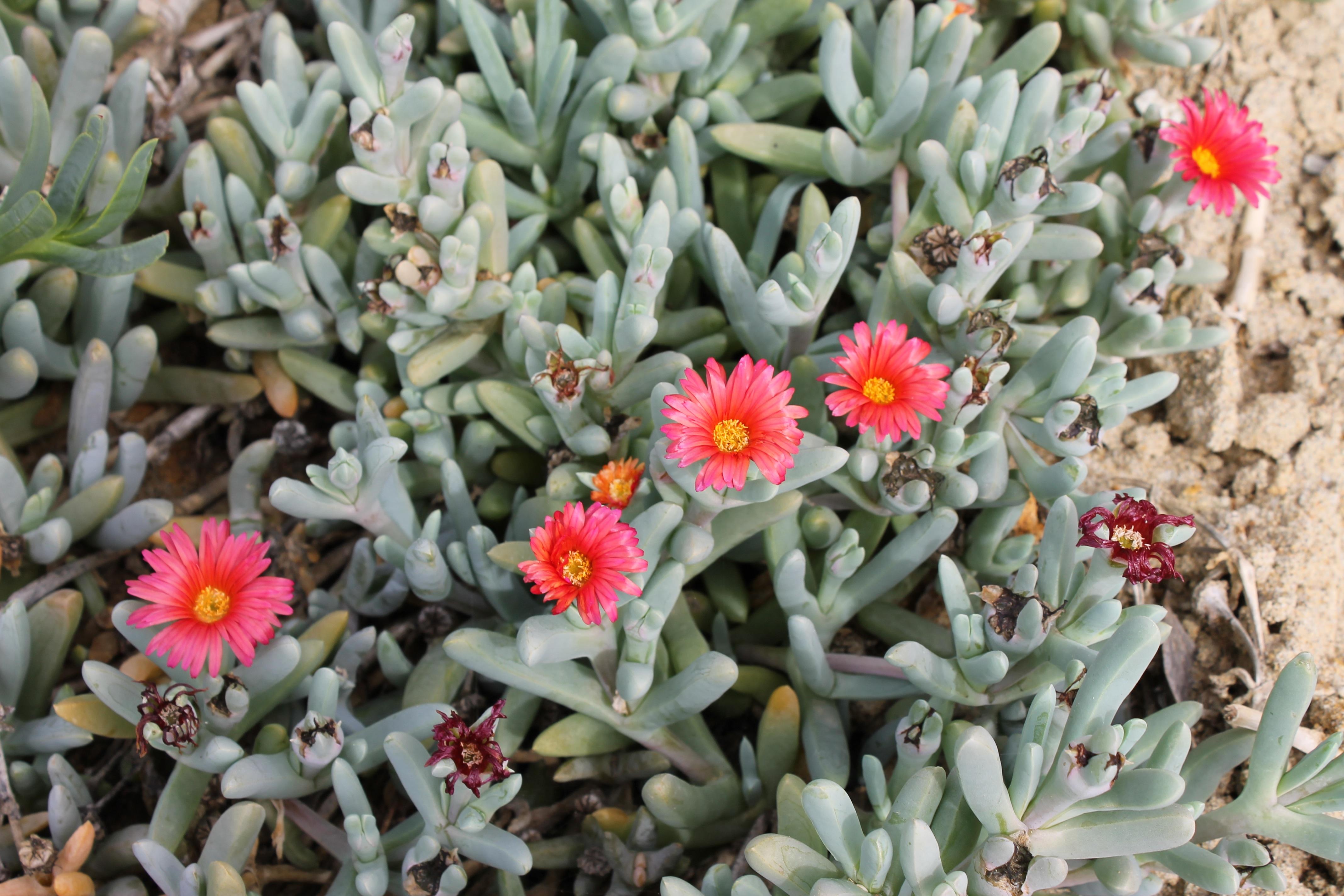Images Gratuites : de plein air, le sable, océan, cactus, fleur, été, botanique, flore, content ...