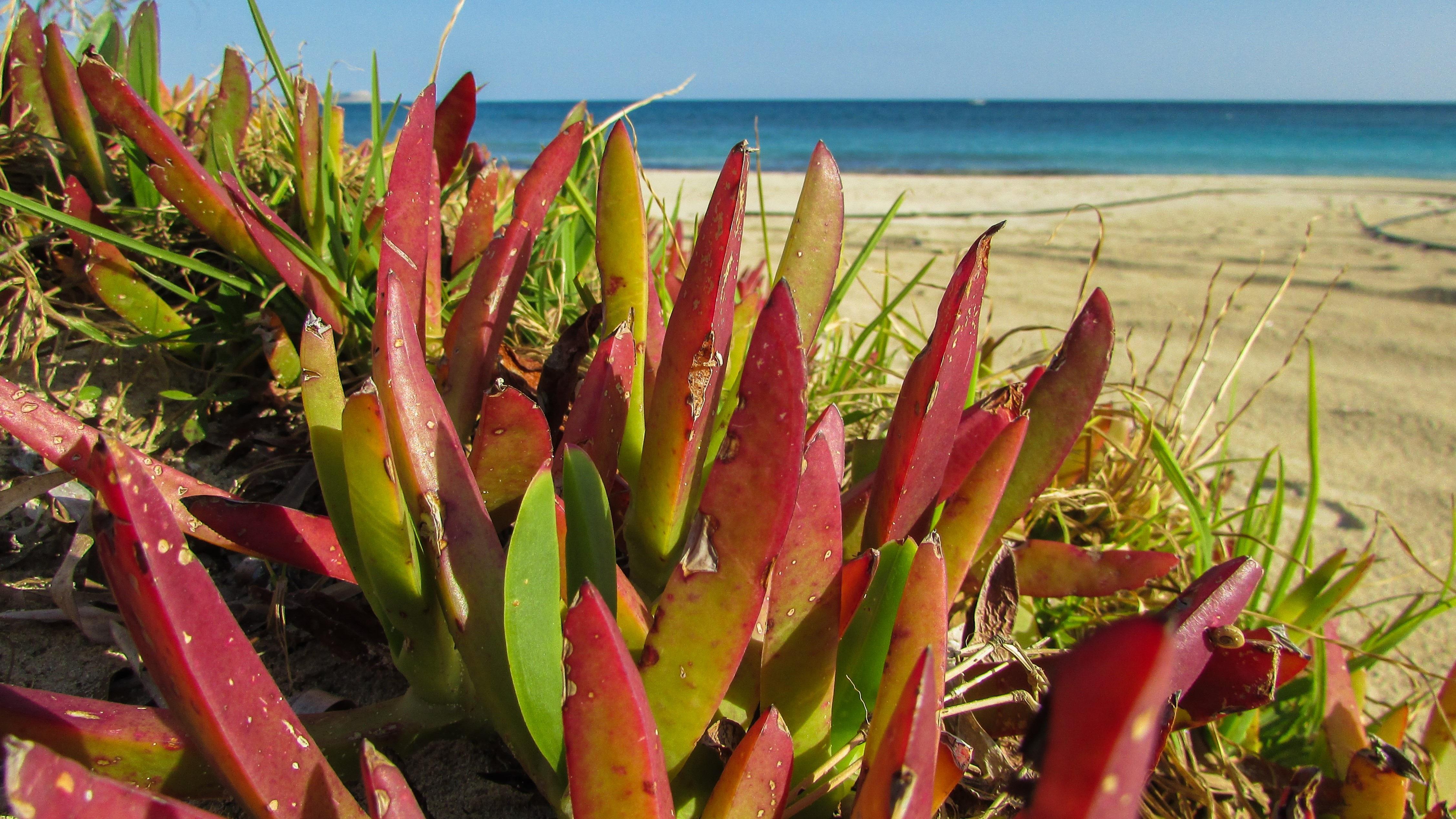 Gratis billeder : strand, blomst, botanik, flora, økologi ...