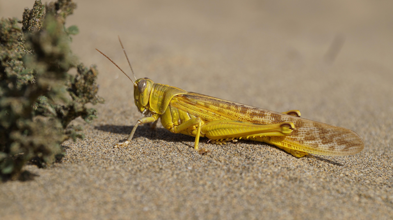 free images : beach, sand, dune, wildlife, yellow, fauna