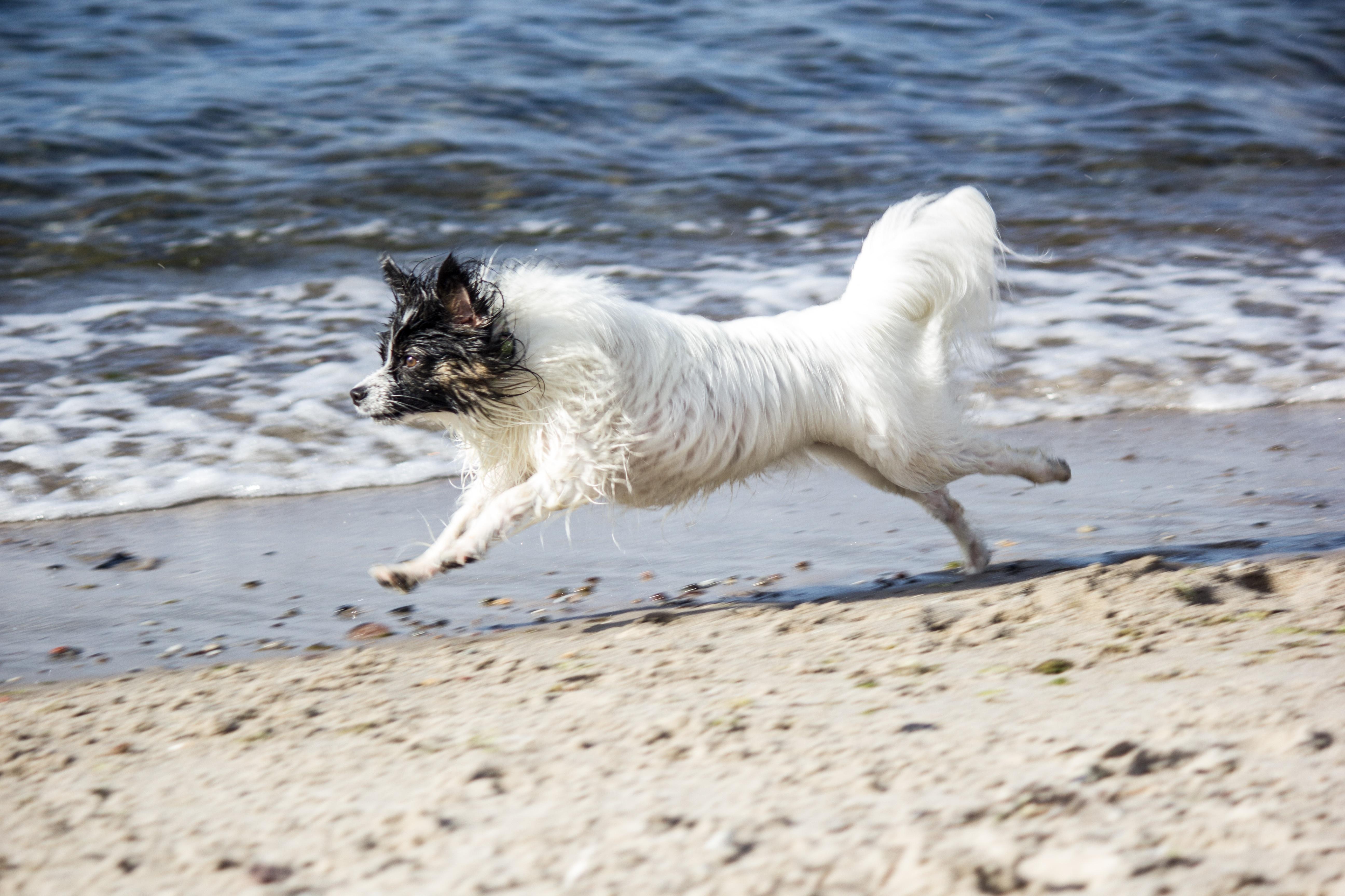 Free Images Beach Sea Snow White Puppy Pet Race Vertebrate