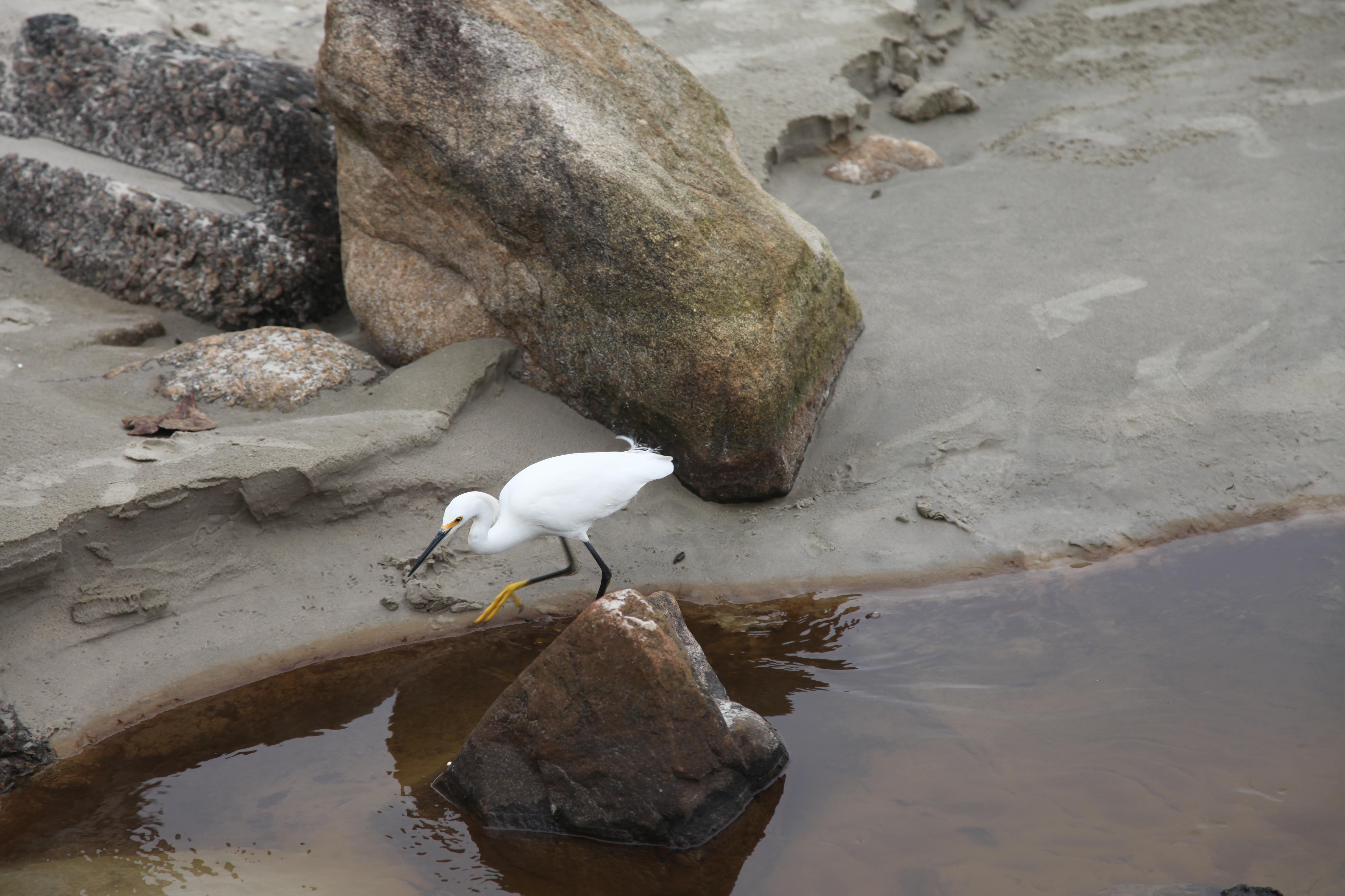 Images gratuites plage eau roche oiseau oiseau de - Images d animaux sauvages gratuites ...