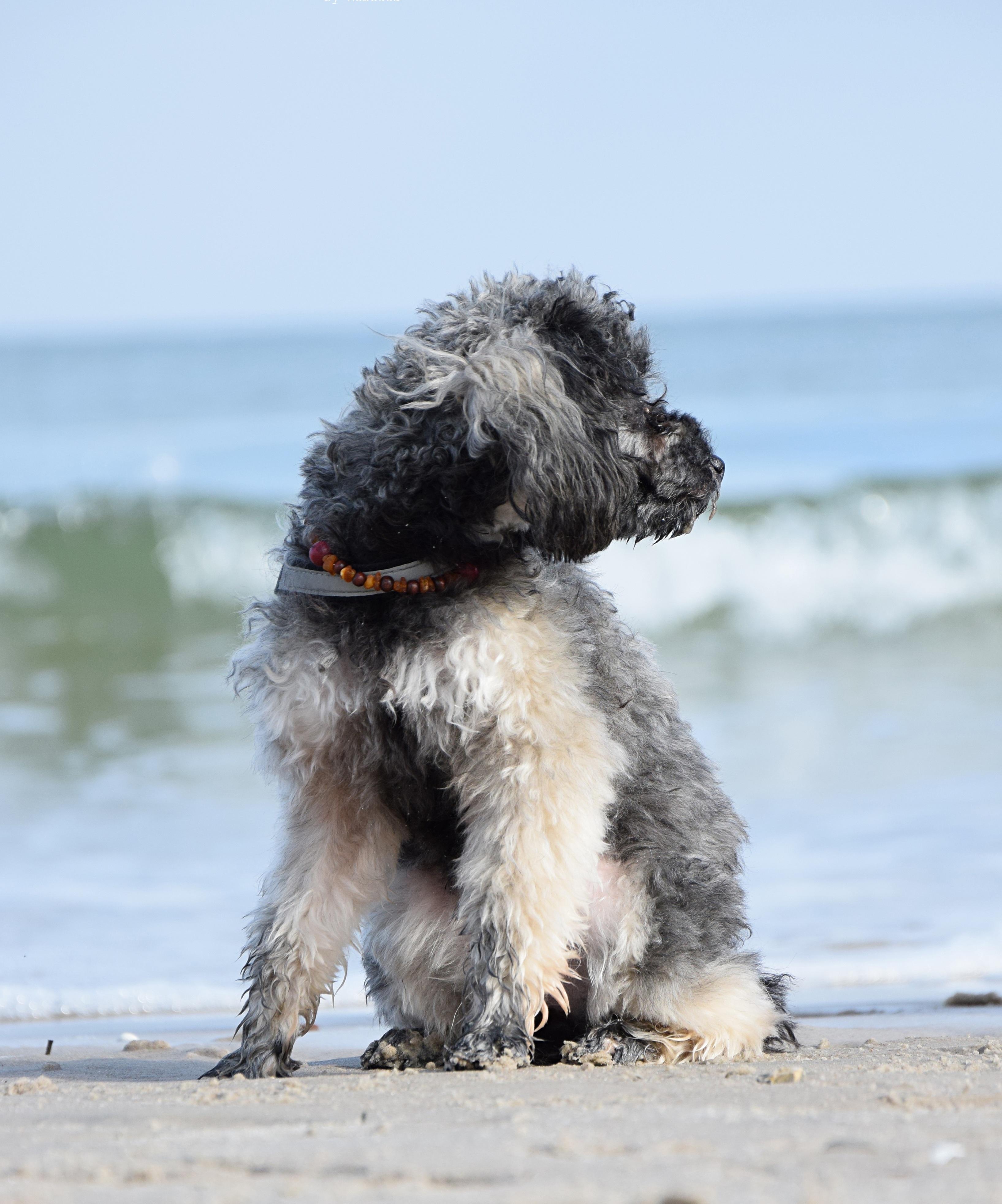 Kostenlose foto : Strand, Meer, Wasser, Welle, Pudel, Wirbeltier ...