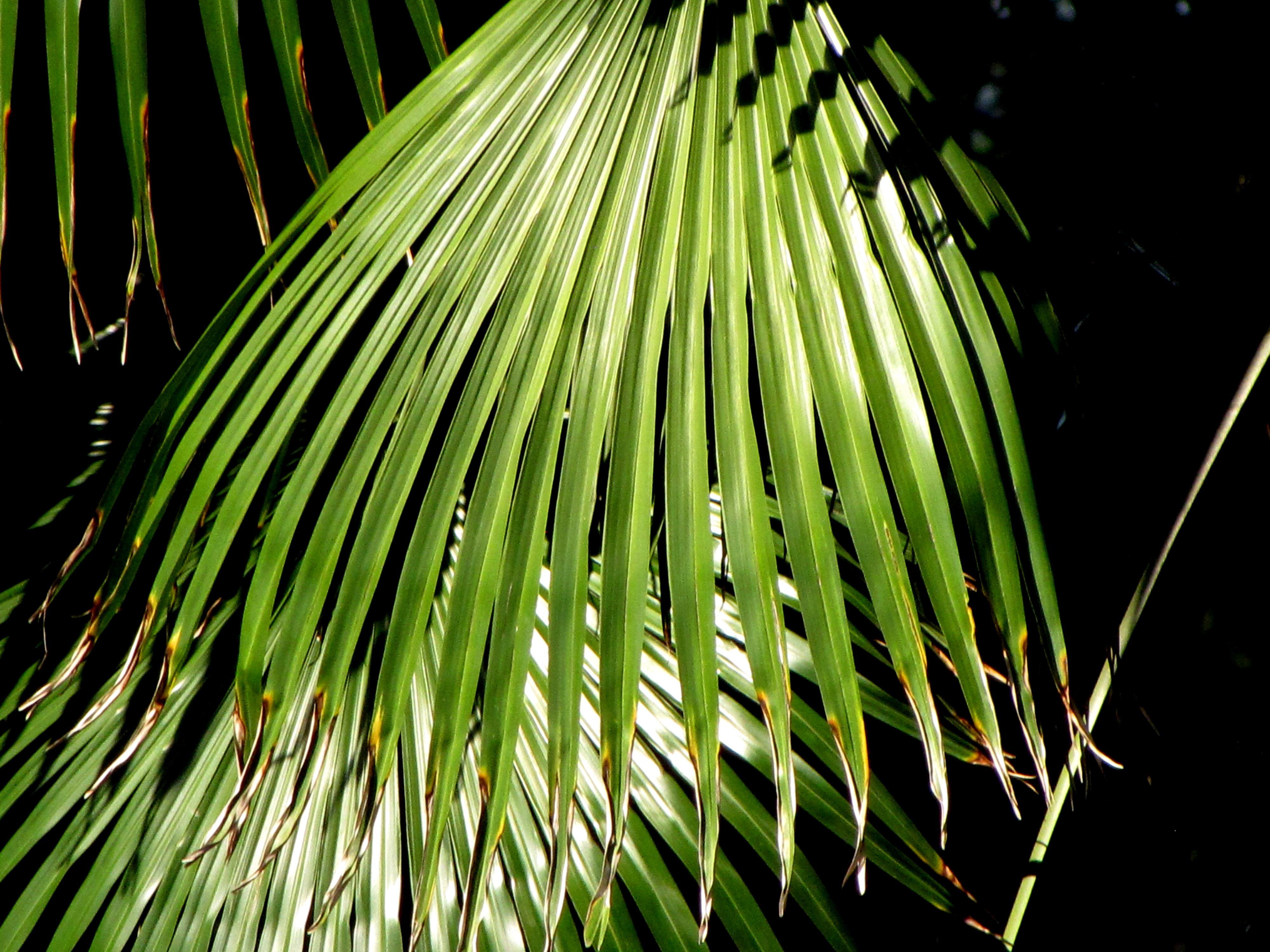 пальма домашняя листы фото холодное сливочное масло